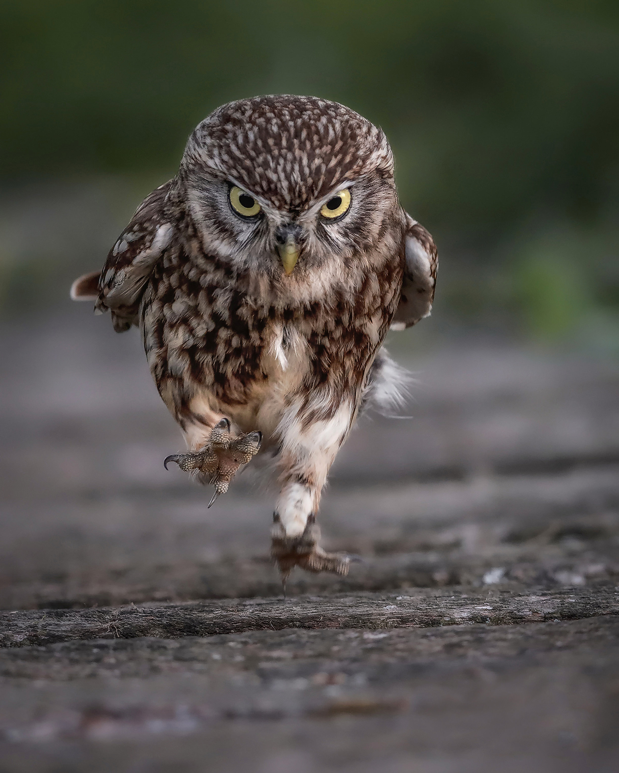 Running Little Owl - Simon Wantling Print File.jpg