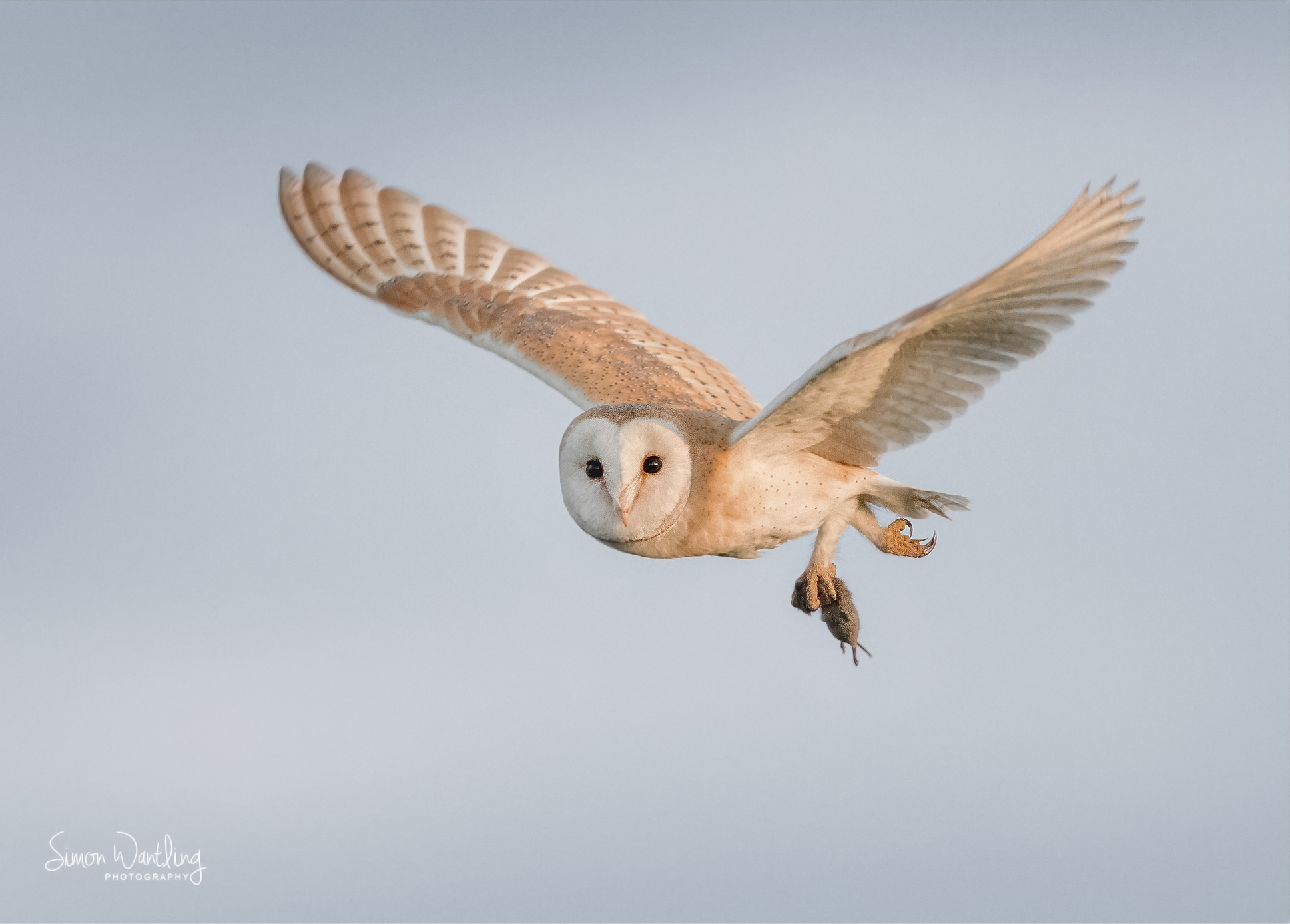Barn Owl and the catch