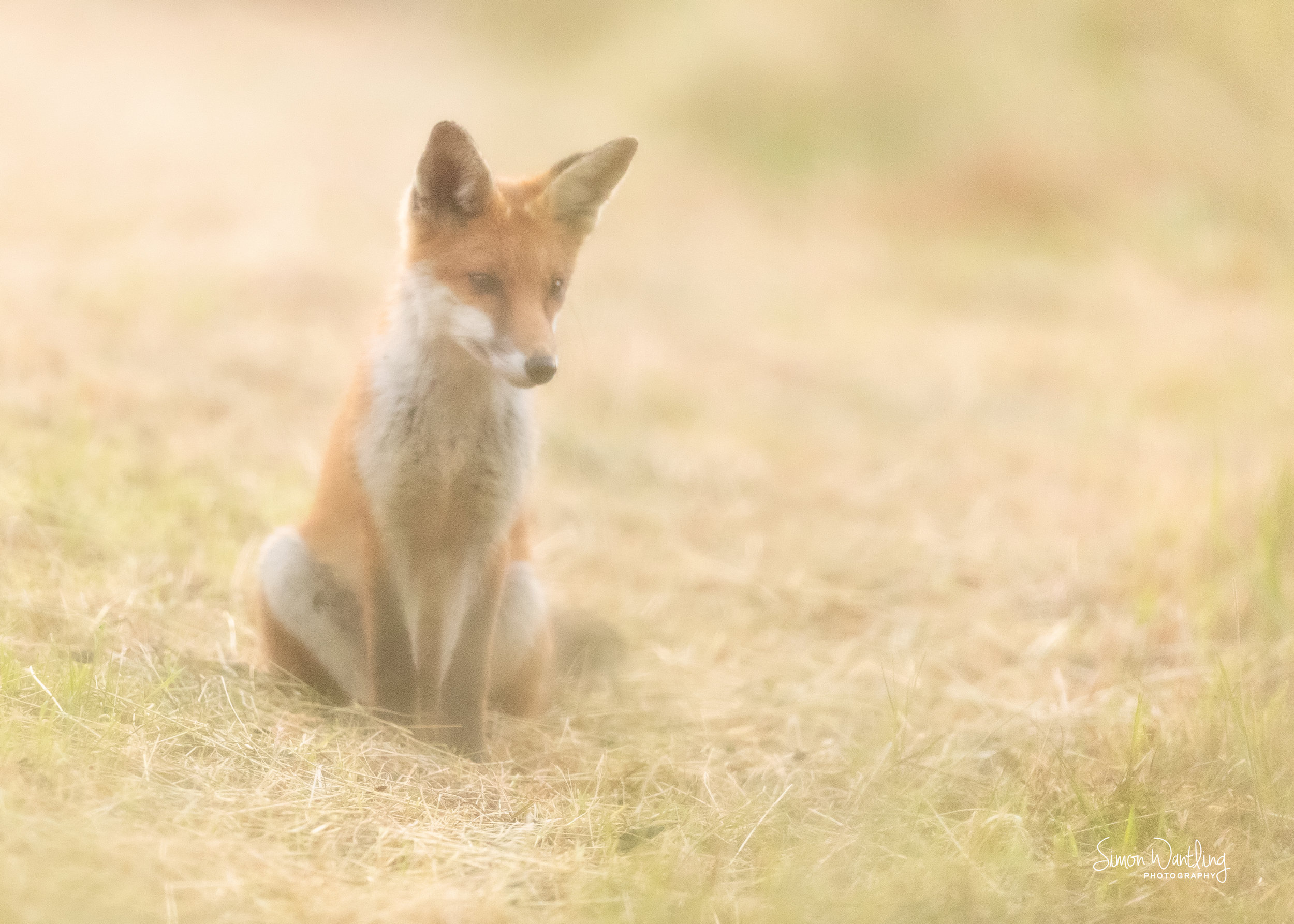 Fox Cub through the Grass