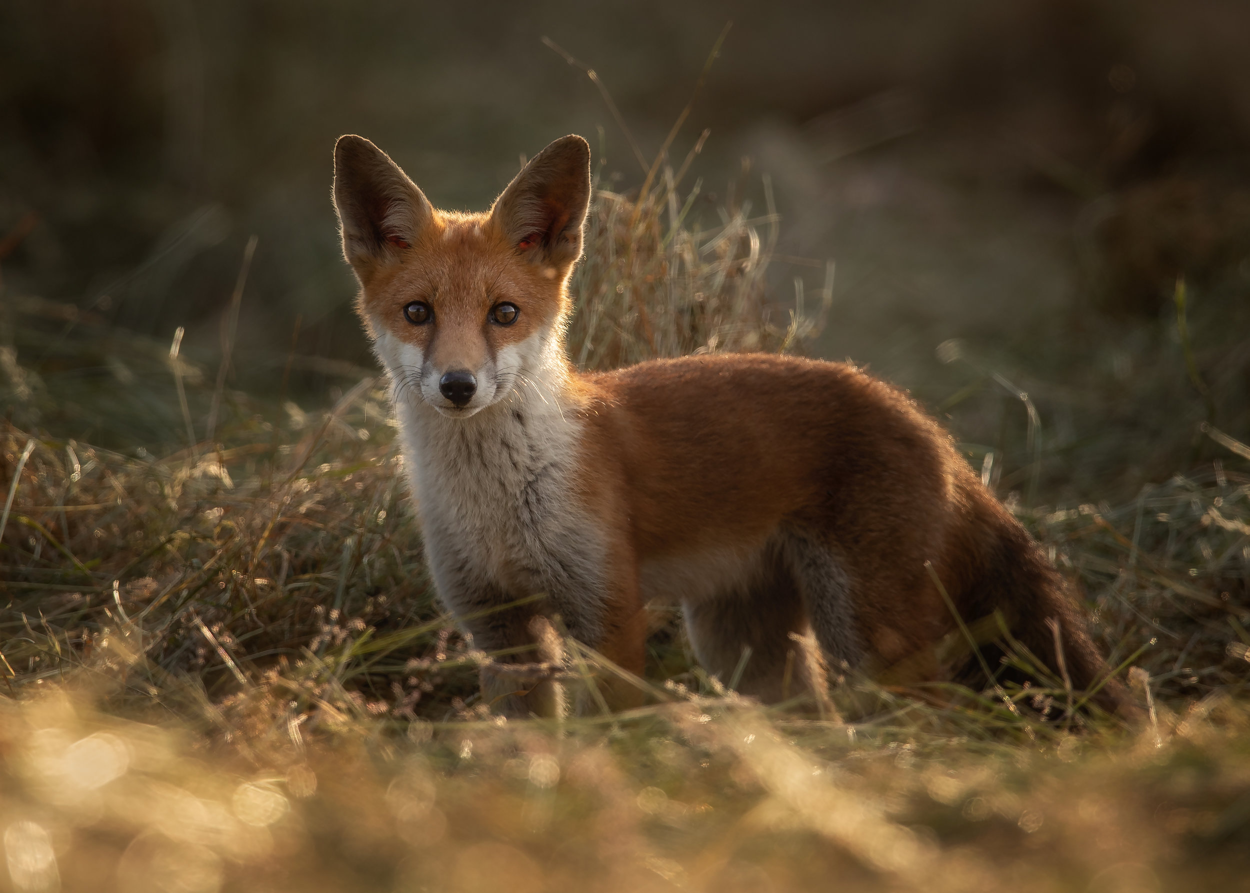 Young Fox Backlit by the setting sun