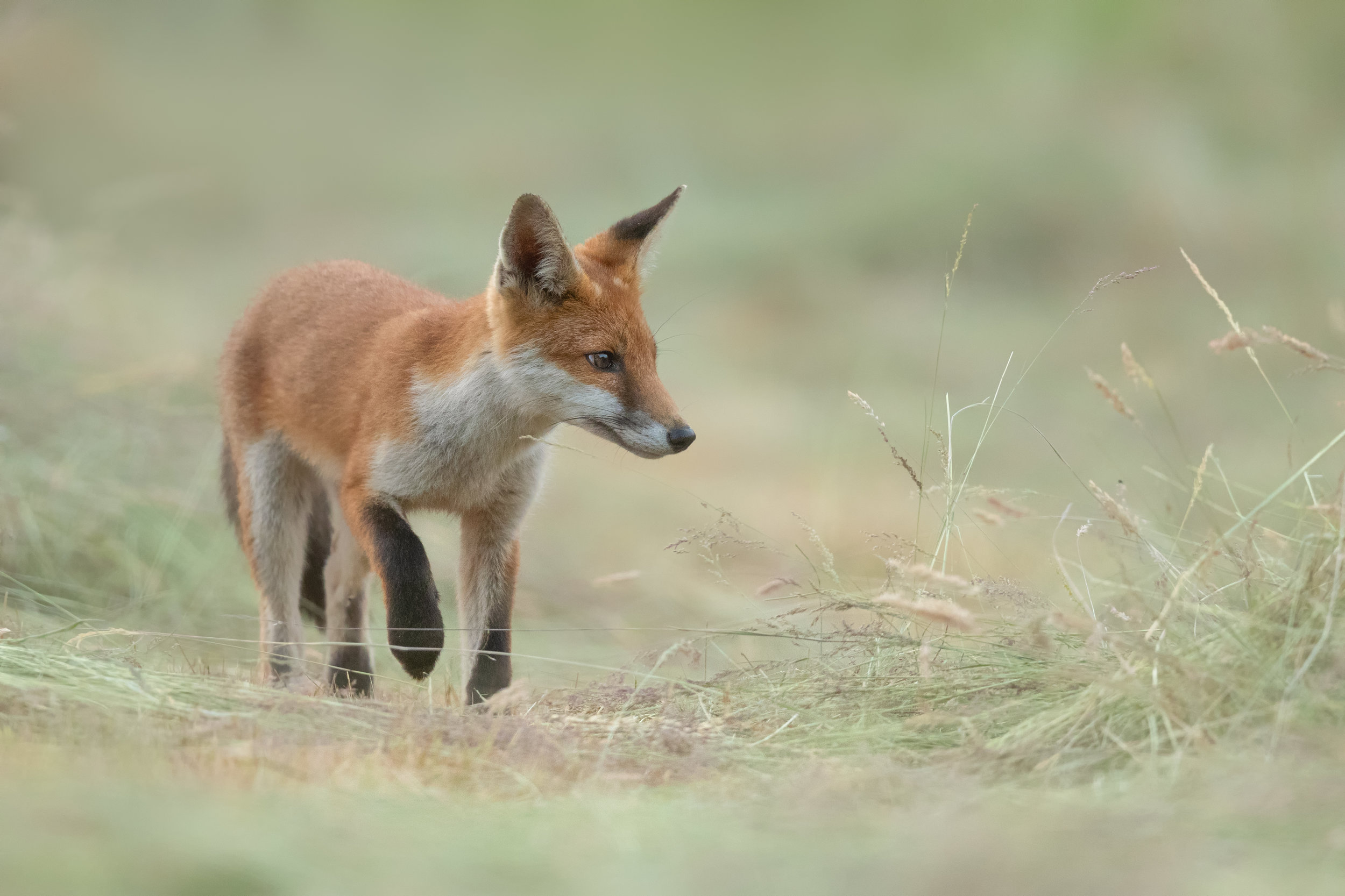 Fox through the grass