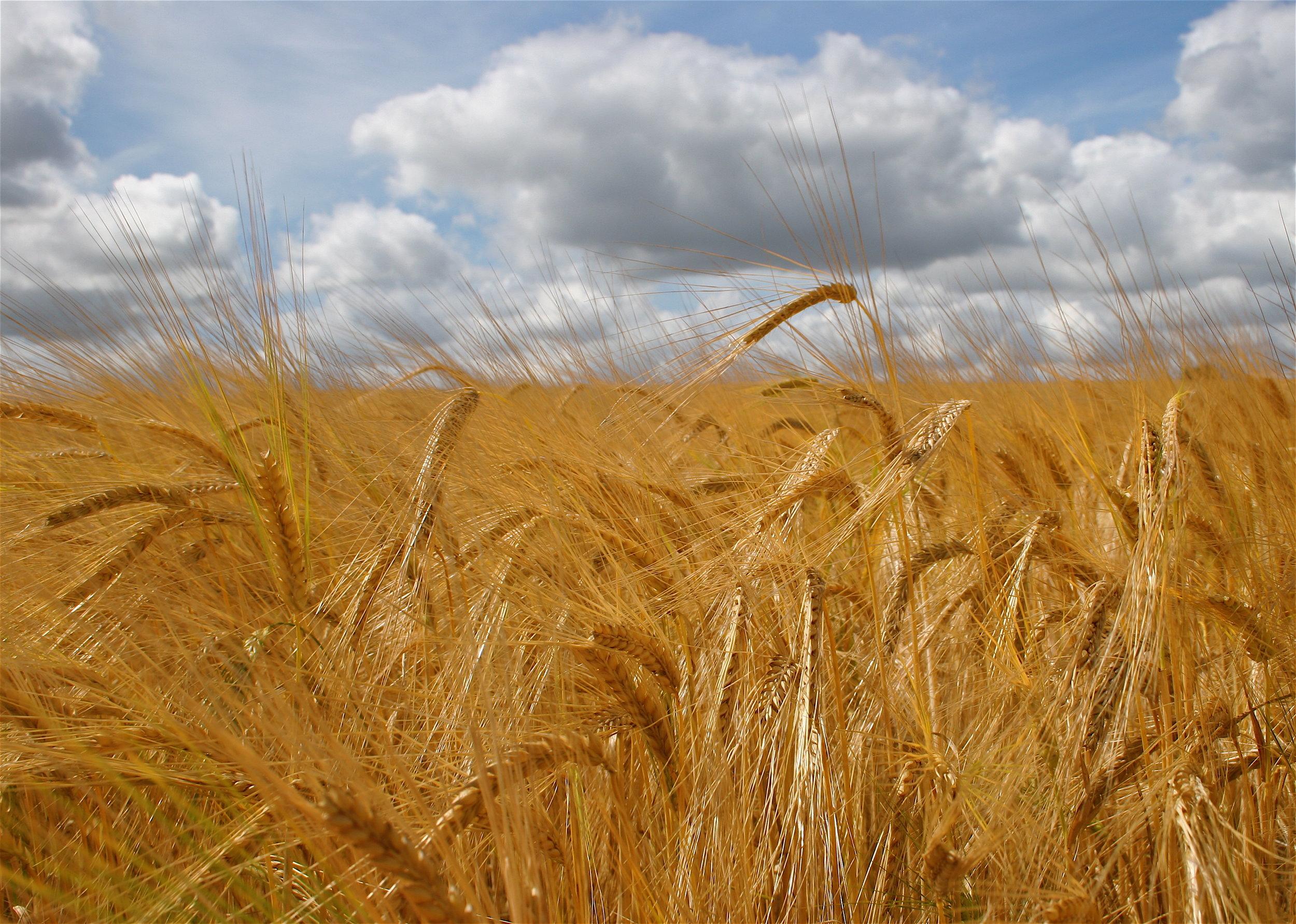 Malt Barley field.jpg