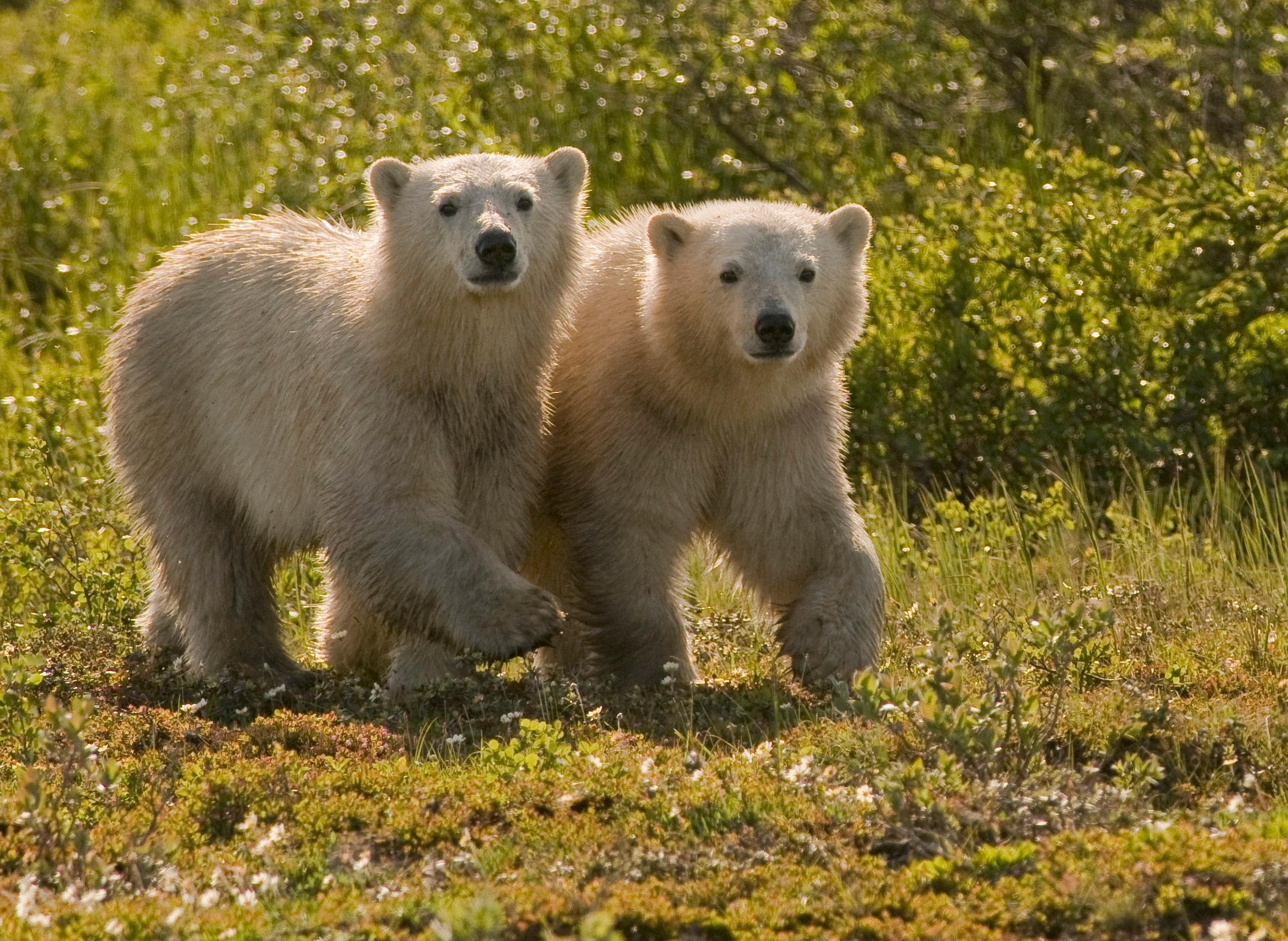 jxvo4s7xRT2XXX1LoiXg_full_polar bear cubs shadows +4 copy.jpg