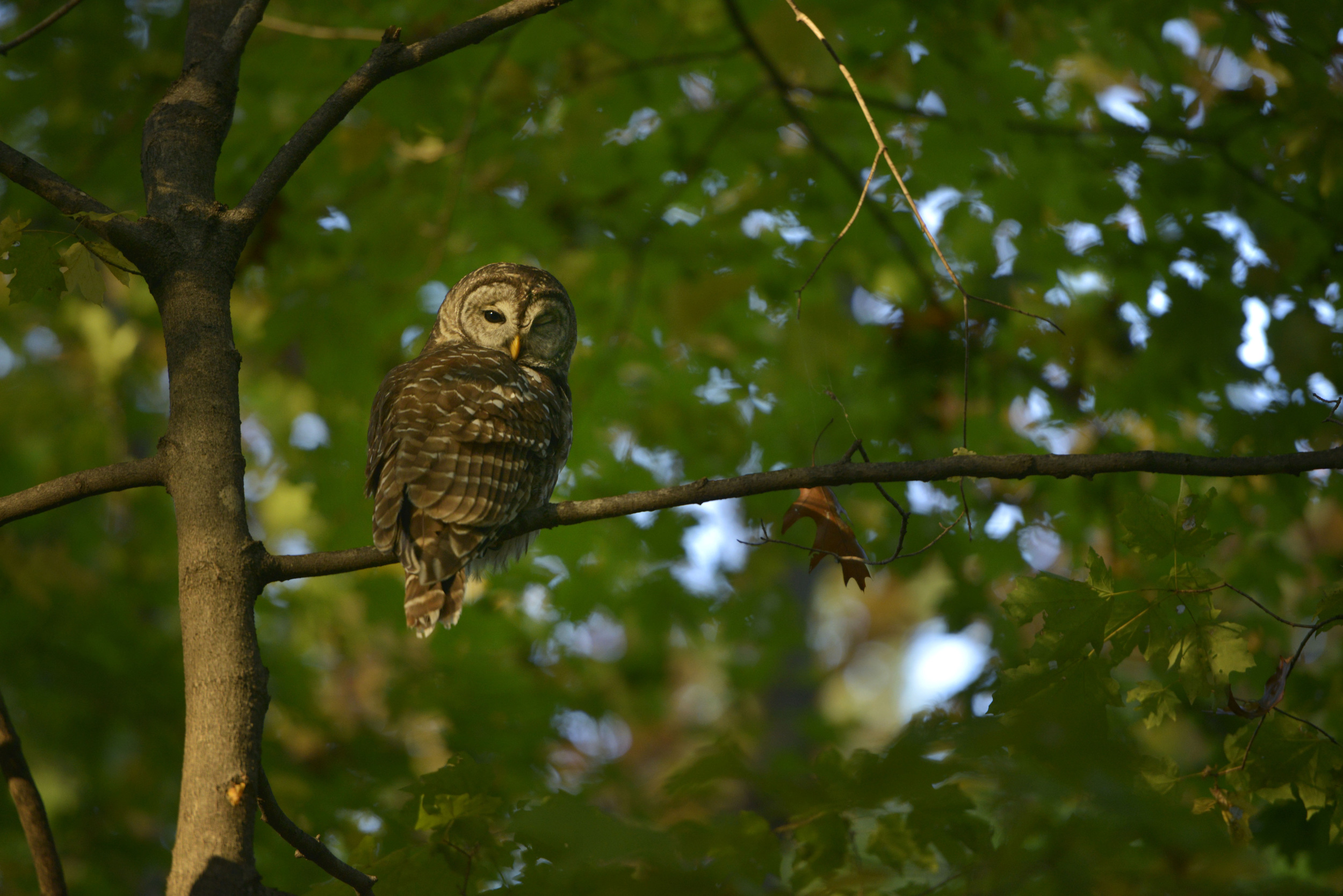 A barred owl on a branch as the sun sets at Percy Warner park in Nashville, Tenn.