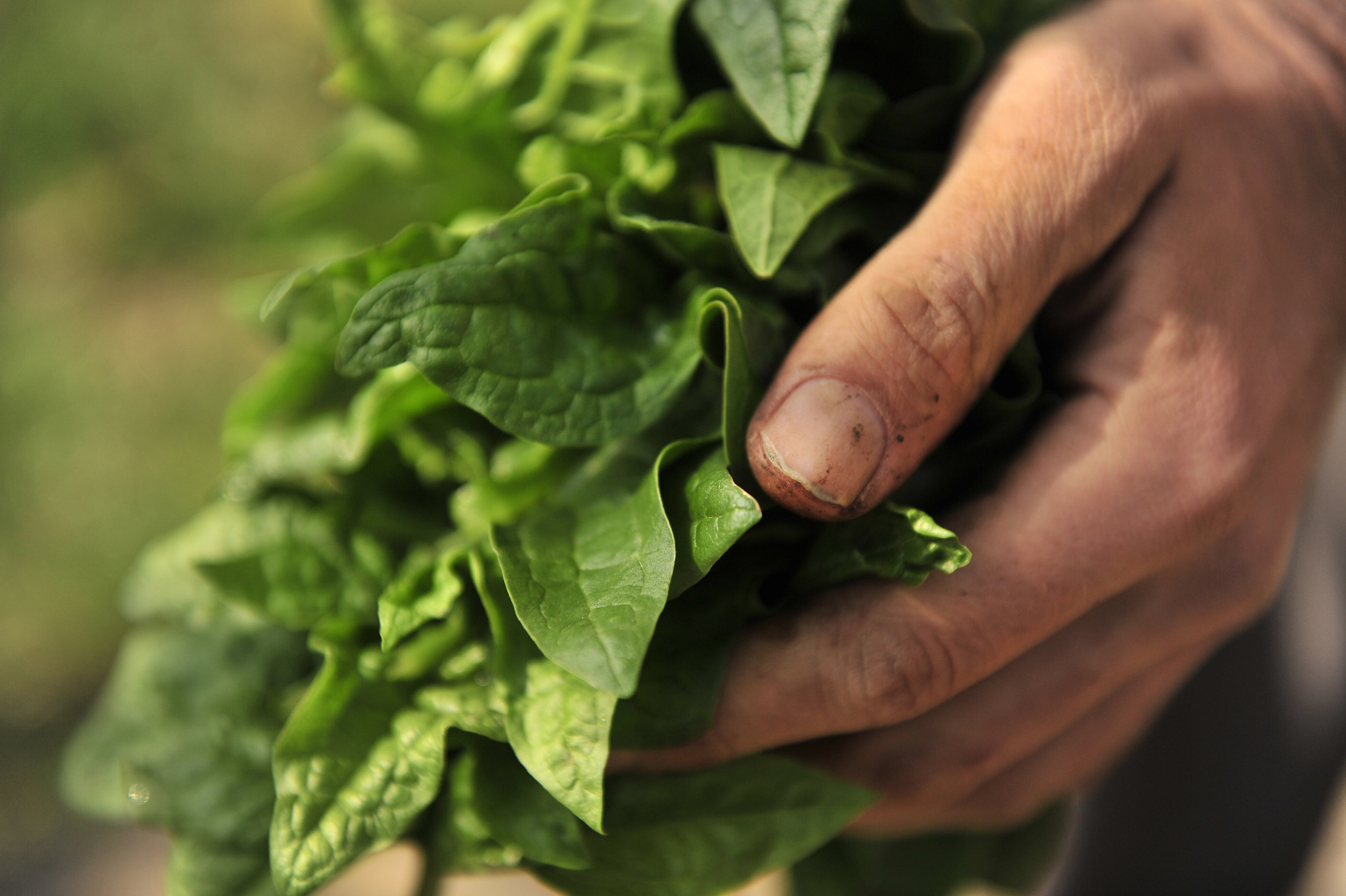 Jeremy Lekich of Nashville Foodscapes harvests spinach from a bed in Sylvan Park in Nashville, Tenn.
