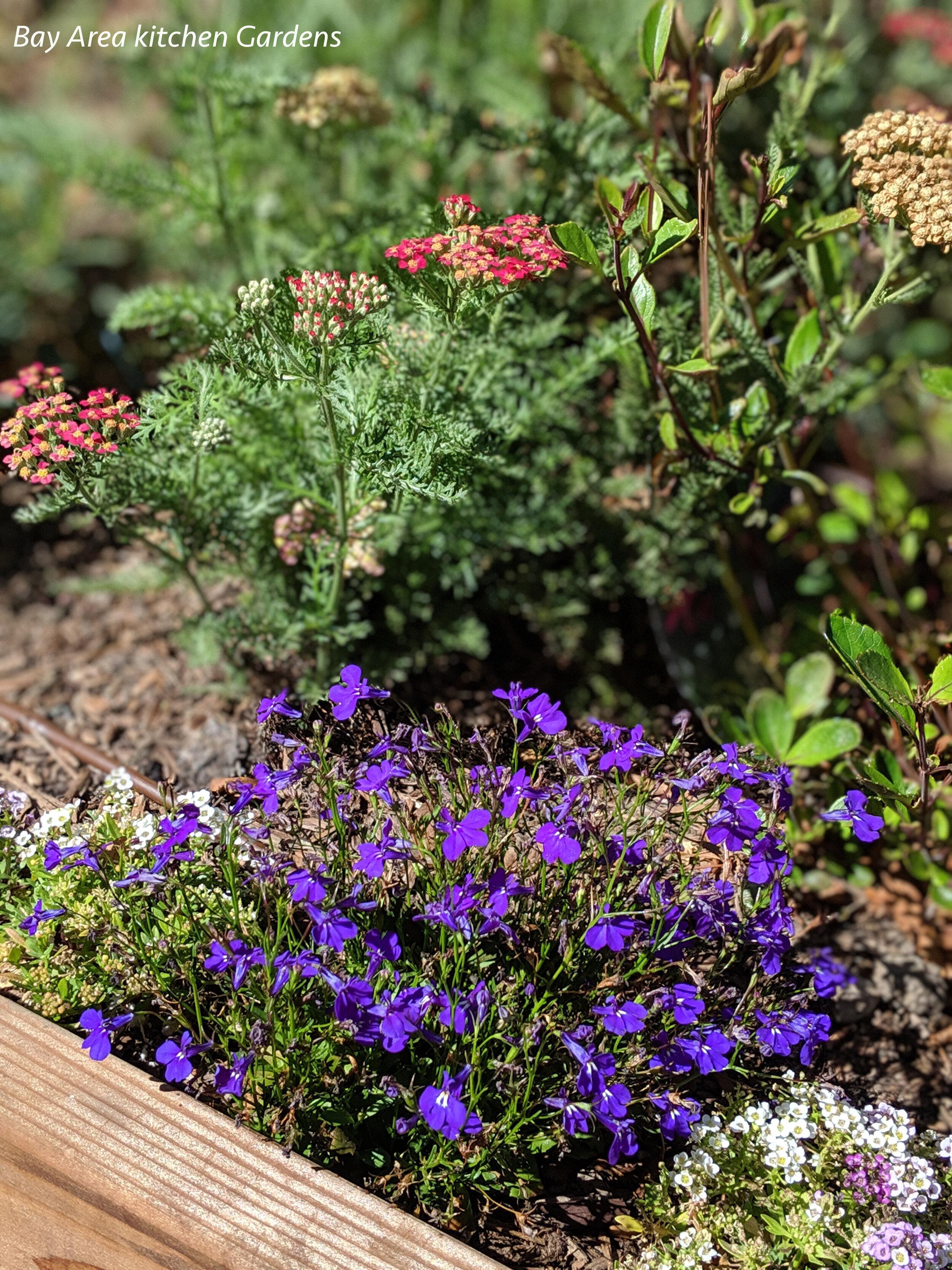 Pollinator Gardens Bay Area Kitchen Gardens