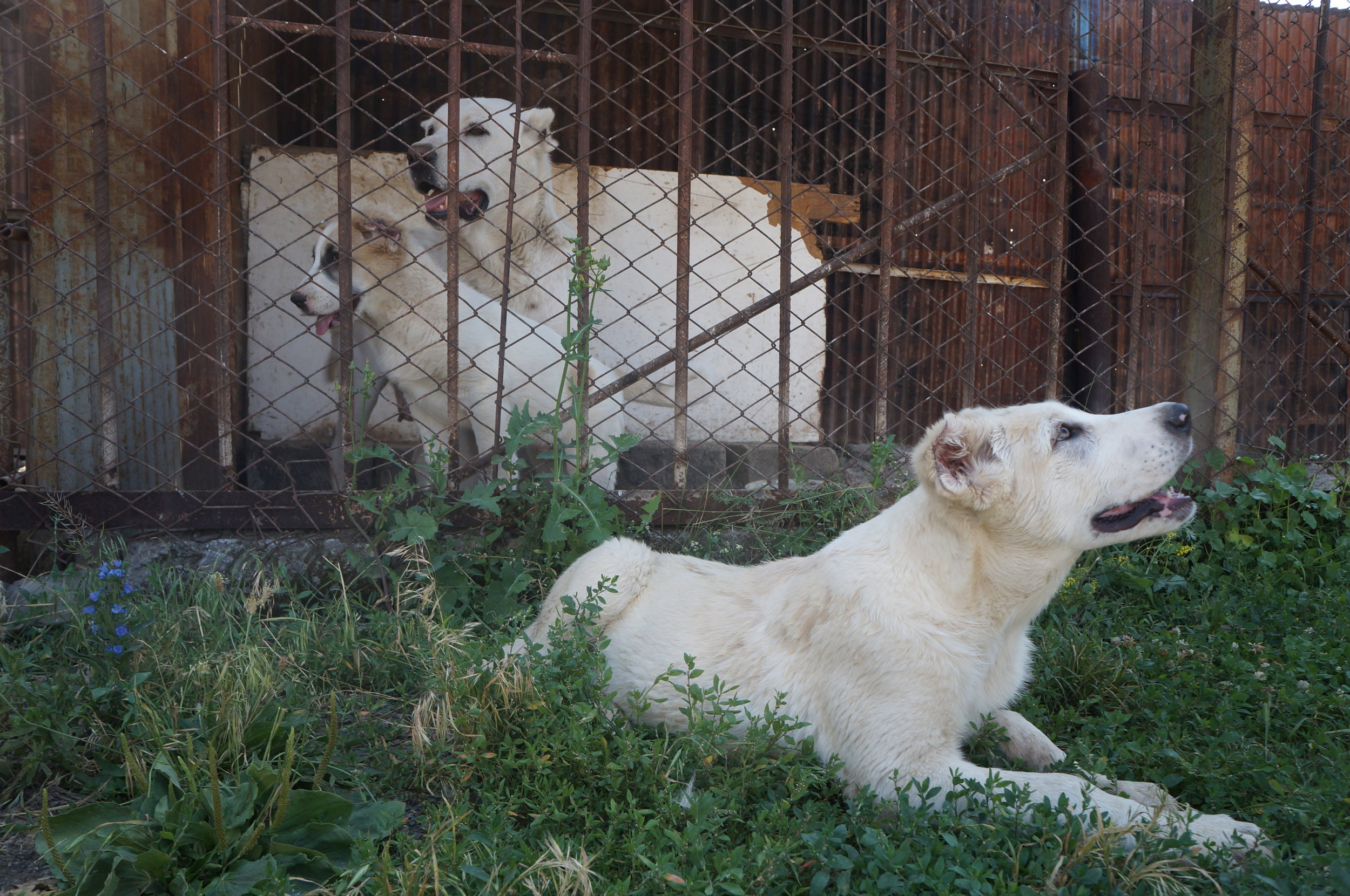 """""""Gampr"""" dogs, who are native to Armenia."""