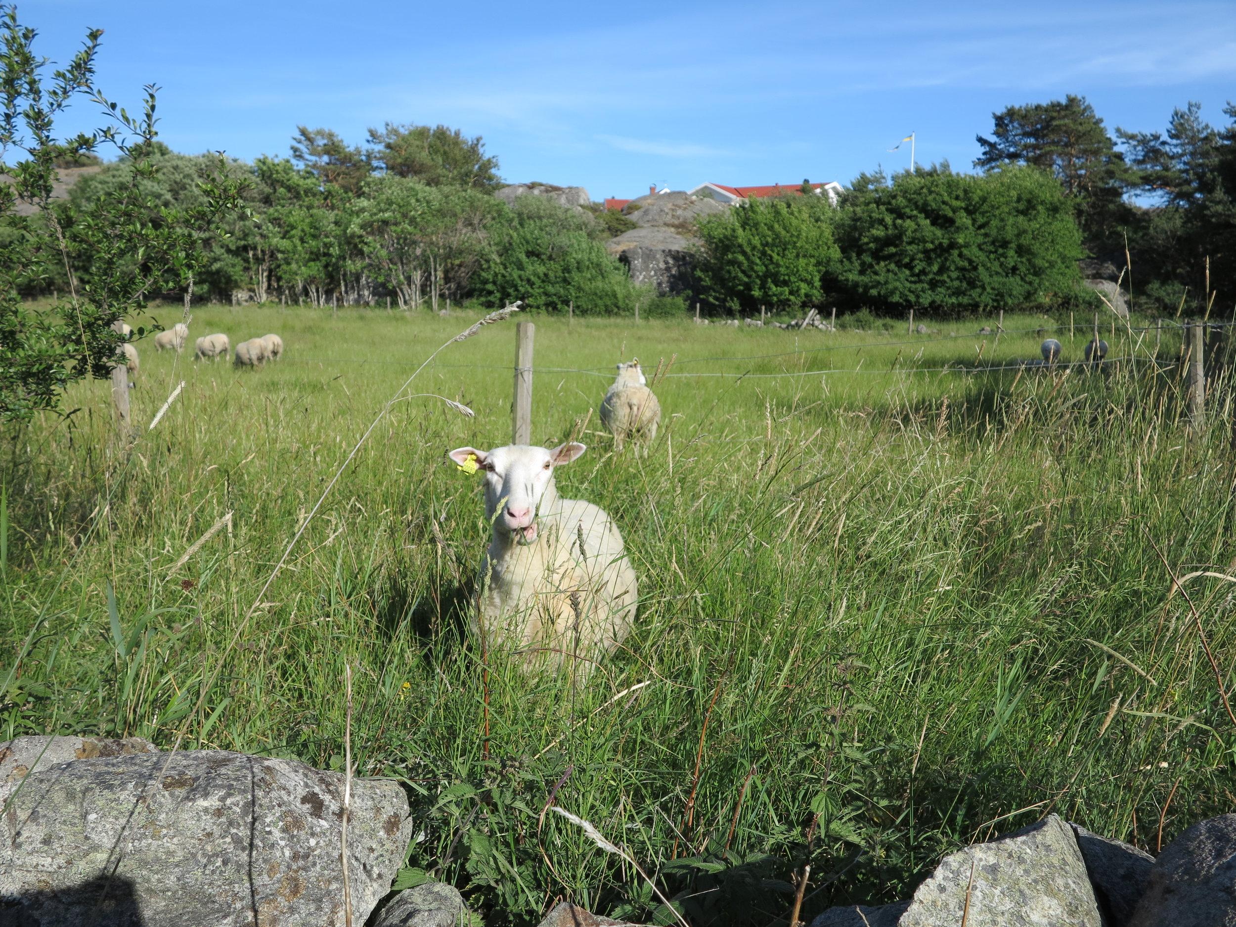 Ein freundliches Schaf beim Abendspaziergang