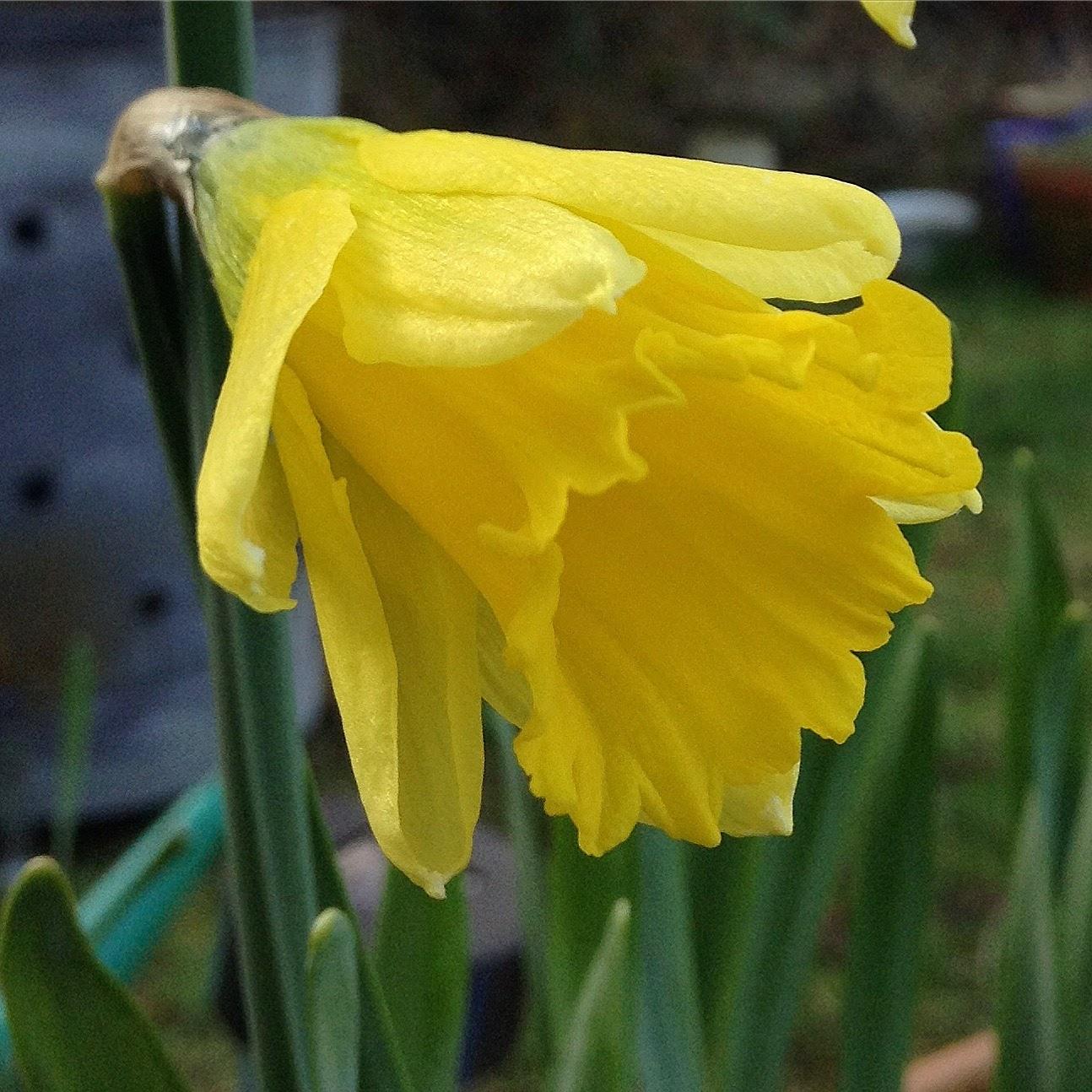 Opening daffodil