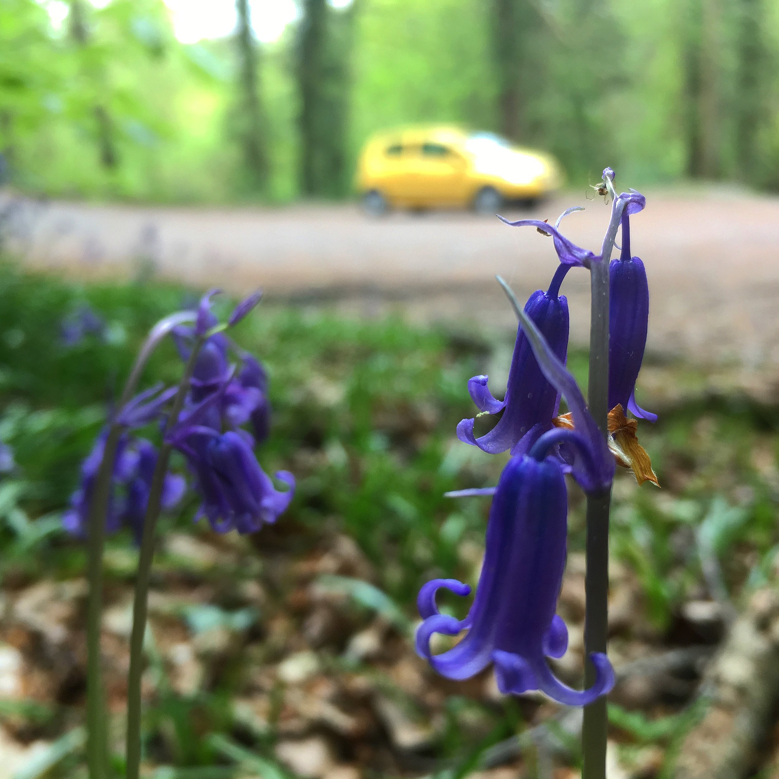 Bluebells and the Little Yellow Car