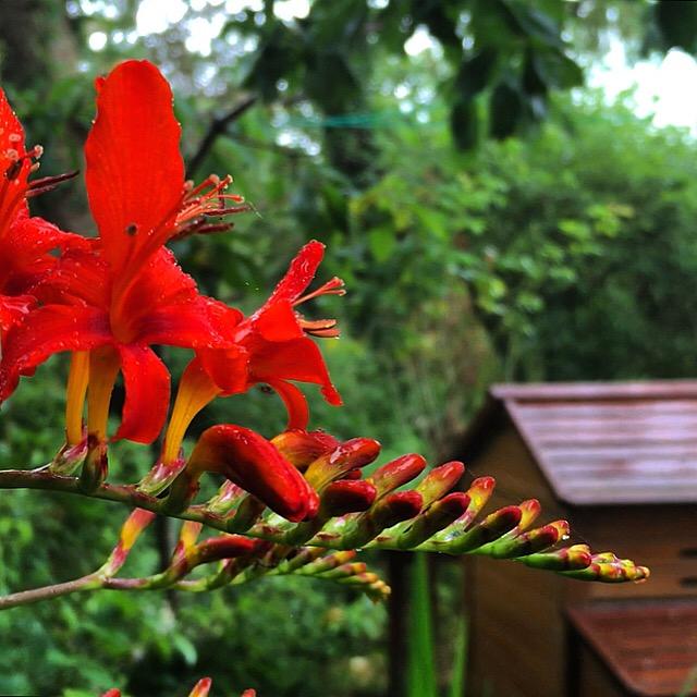 Flaming orange in the garden