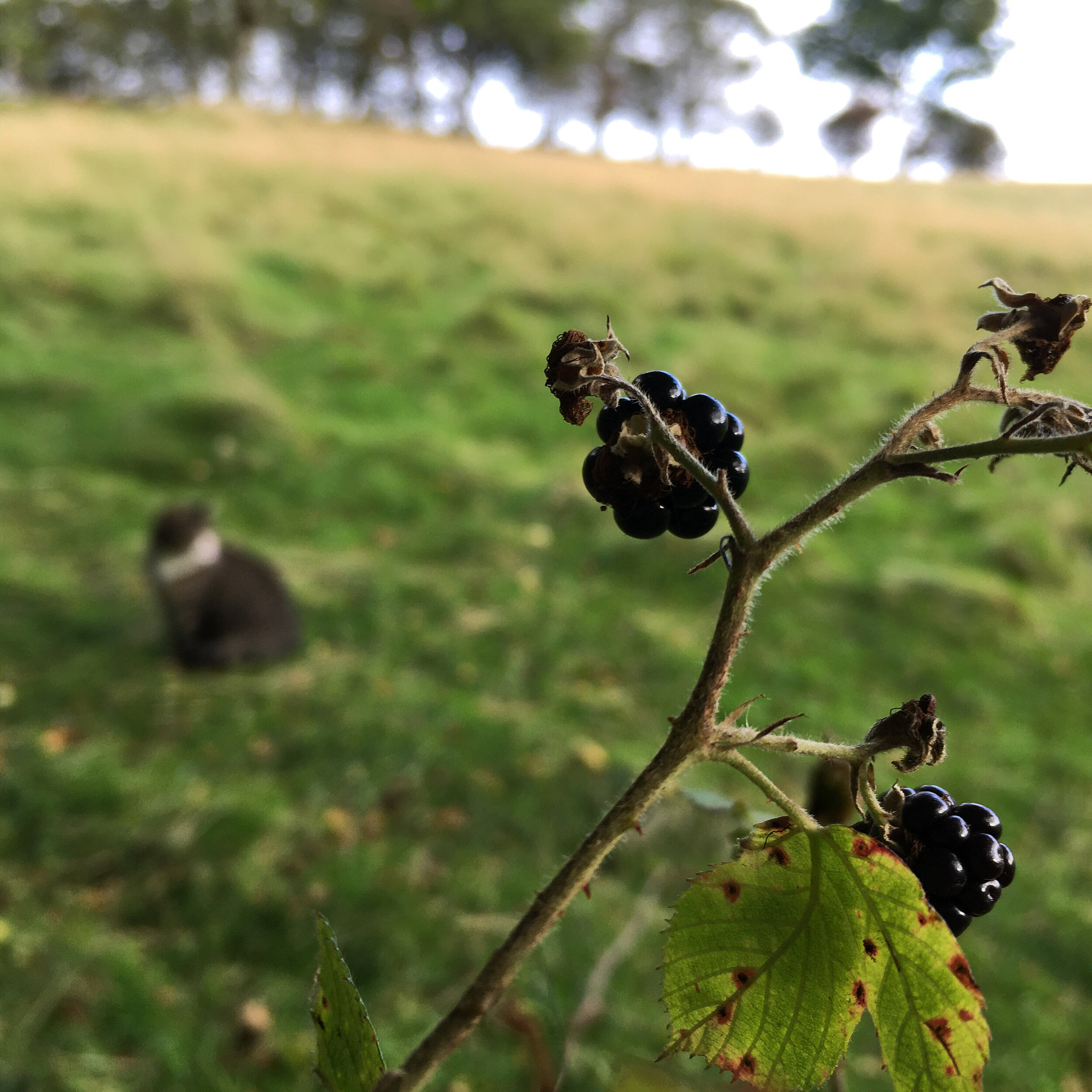 Blackberrying with Ounce