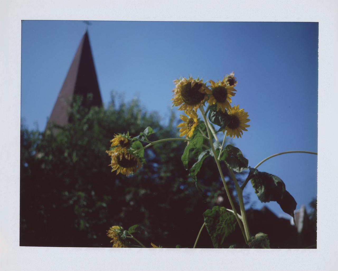 Sunflowers #001