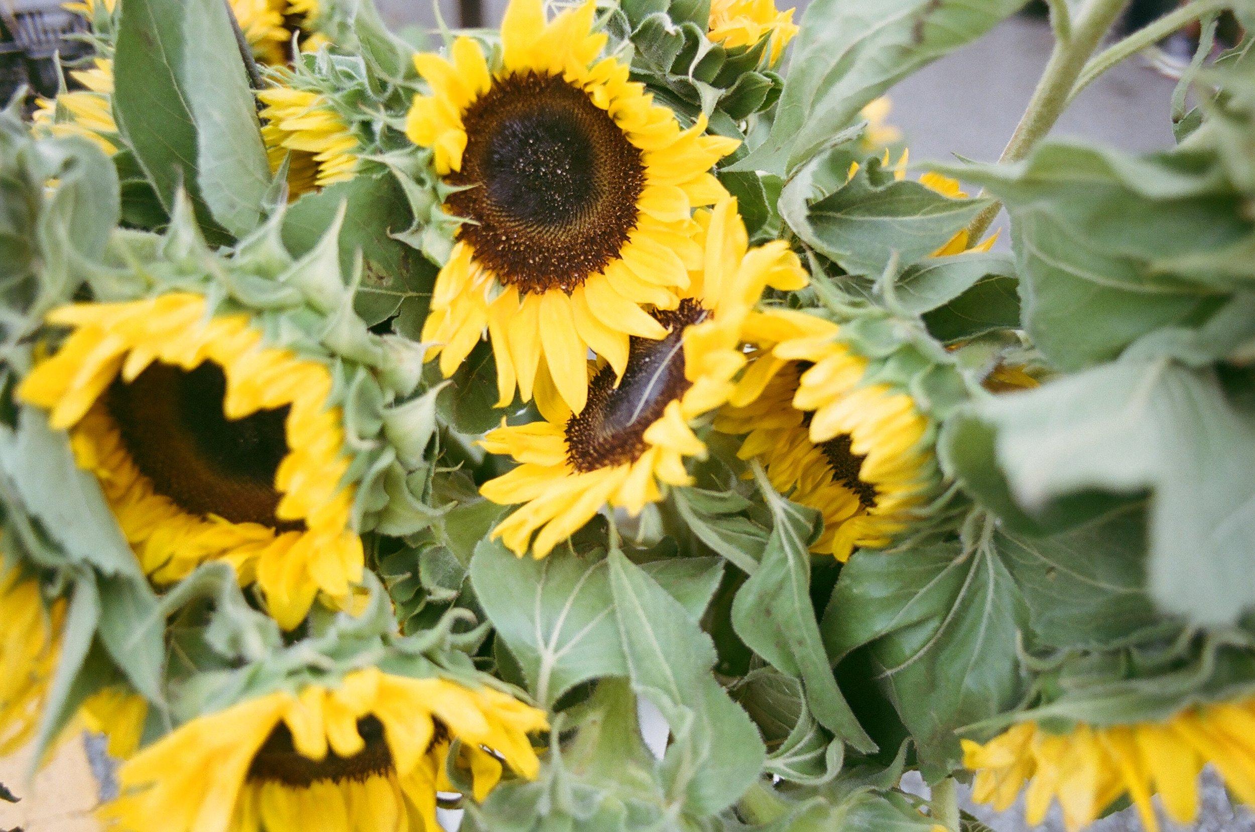 Sunflowers #003