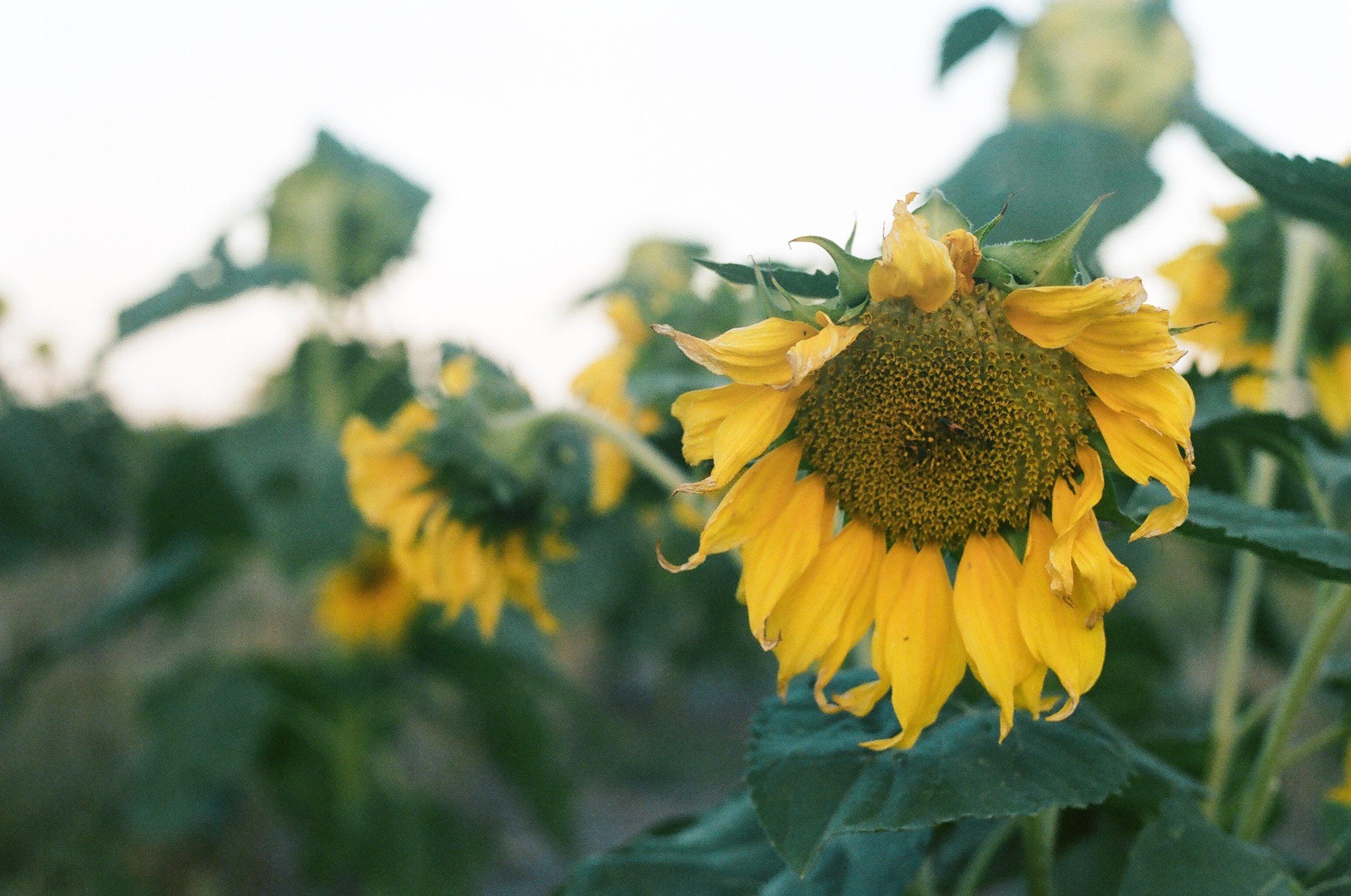 Sunflowers #004