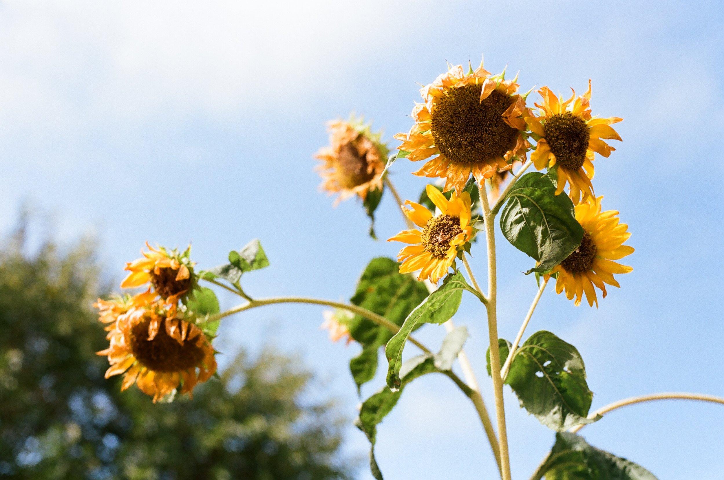 Sunflowers #005