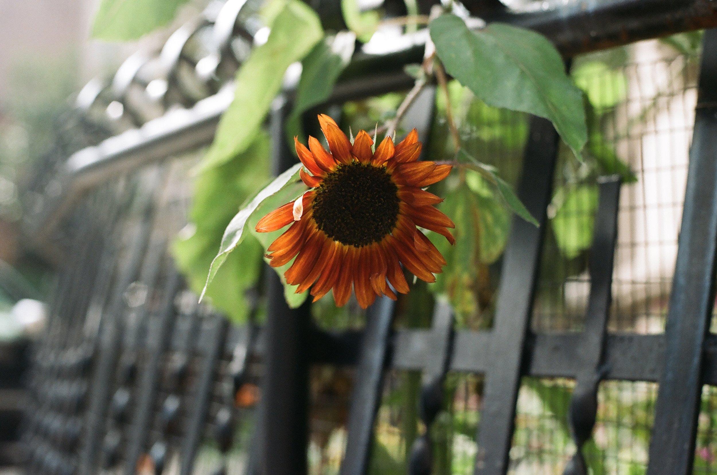Sunflowers #006