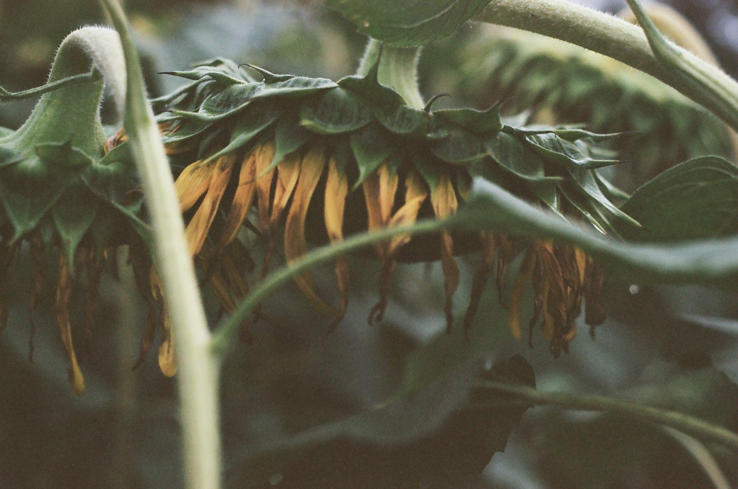 Sunflowers #007