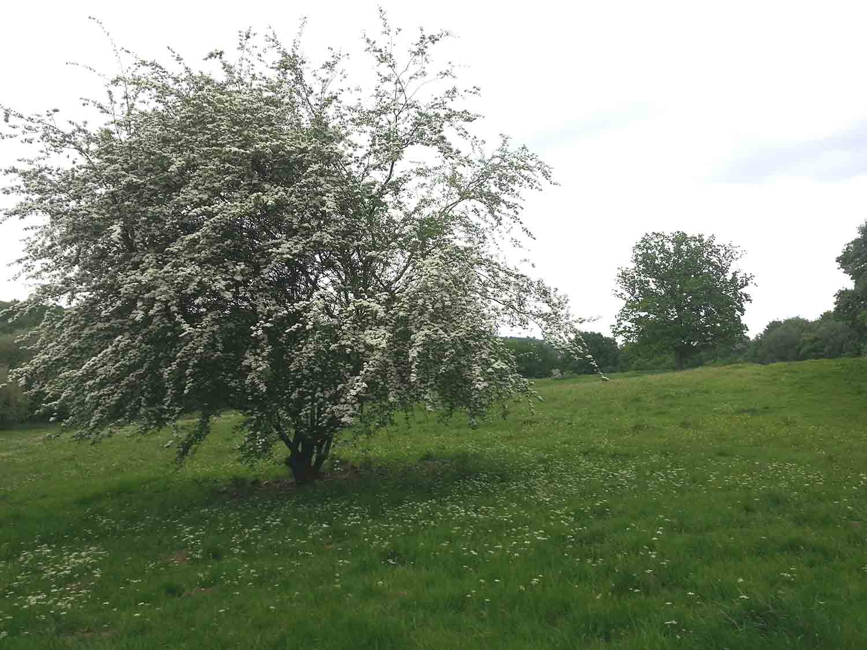Hawthorn in flower, Cumborrow