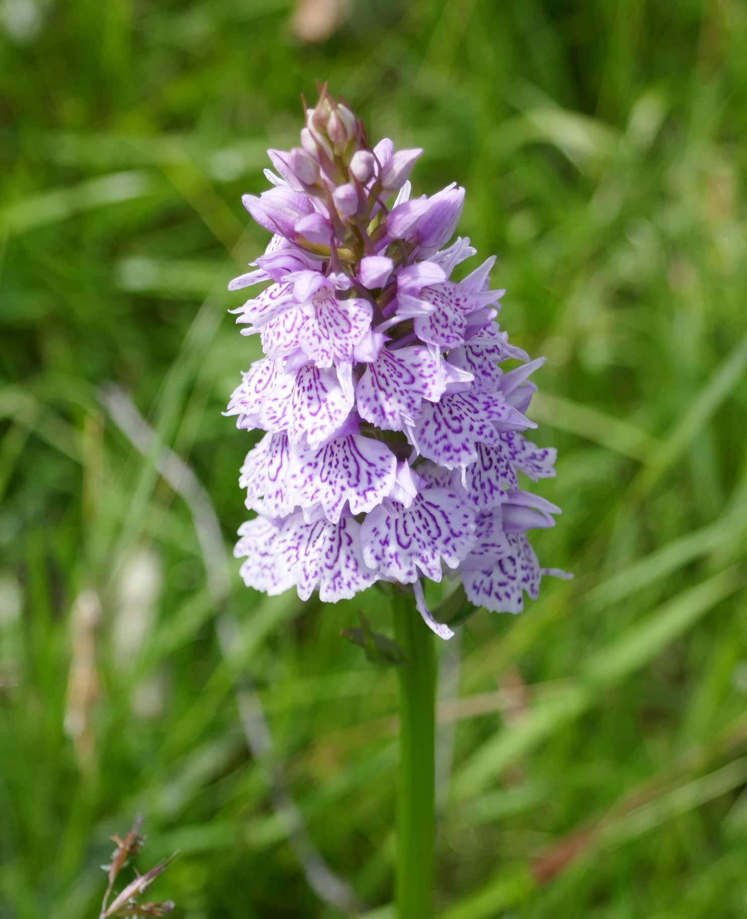 Heath Orchid