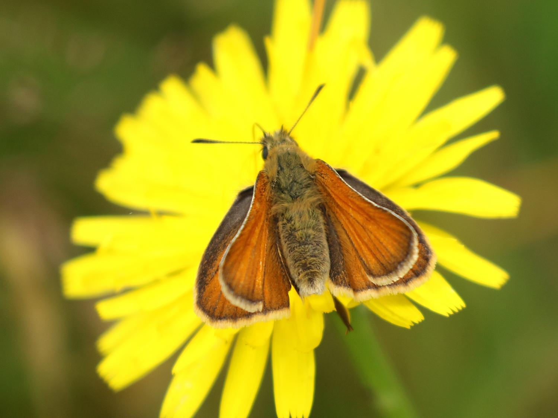Skipper butterfly on catsear