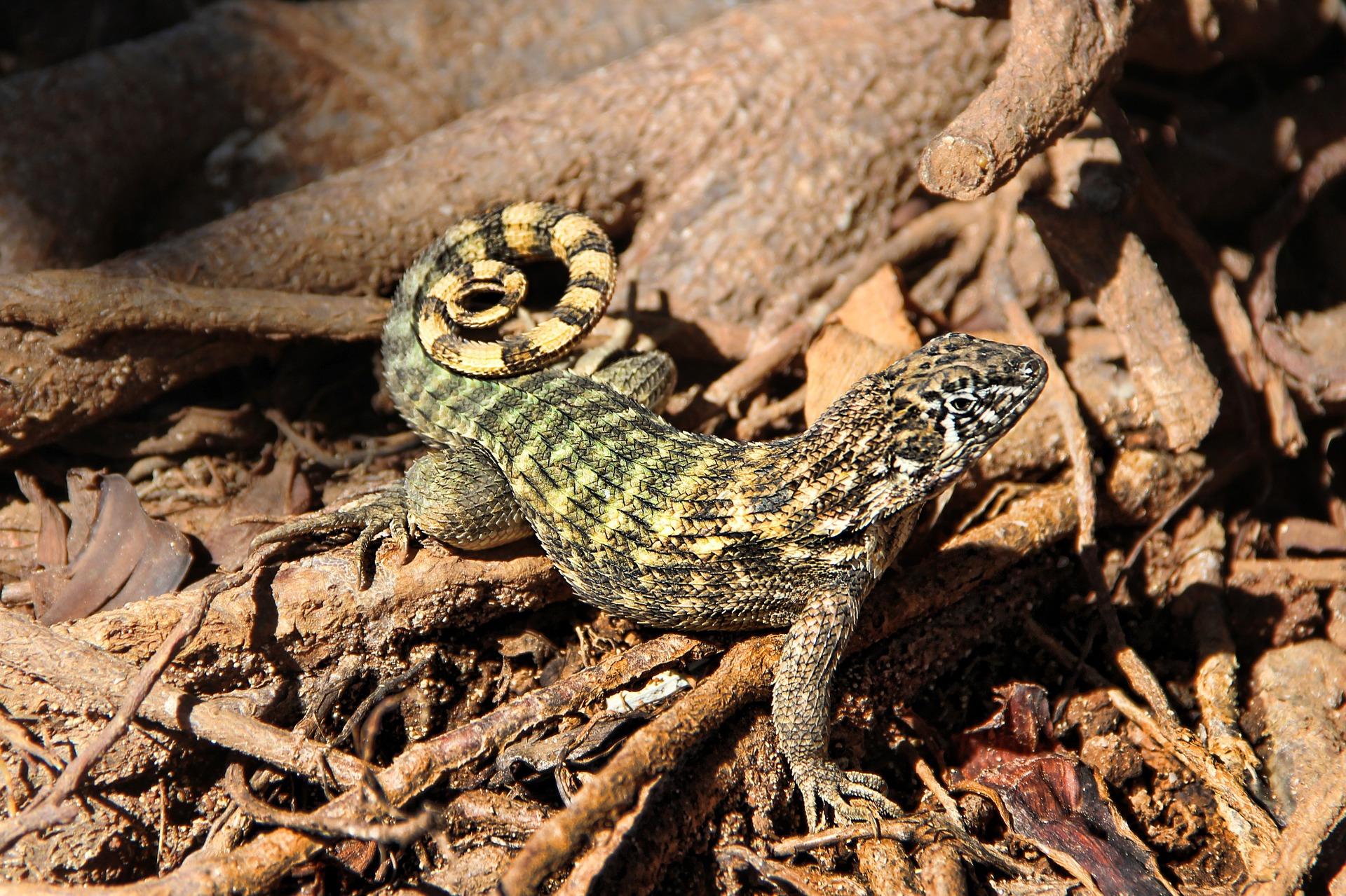 lizard-1202428_1920.jpg