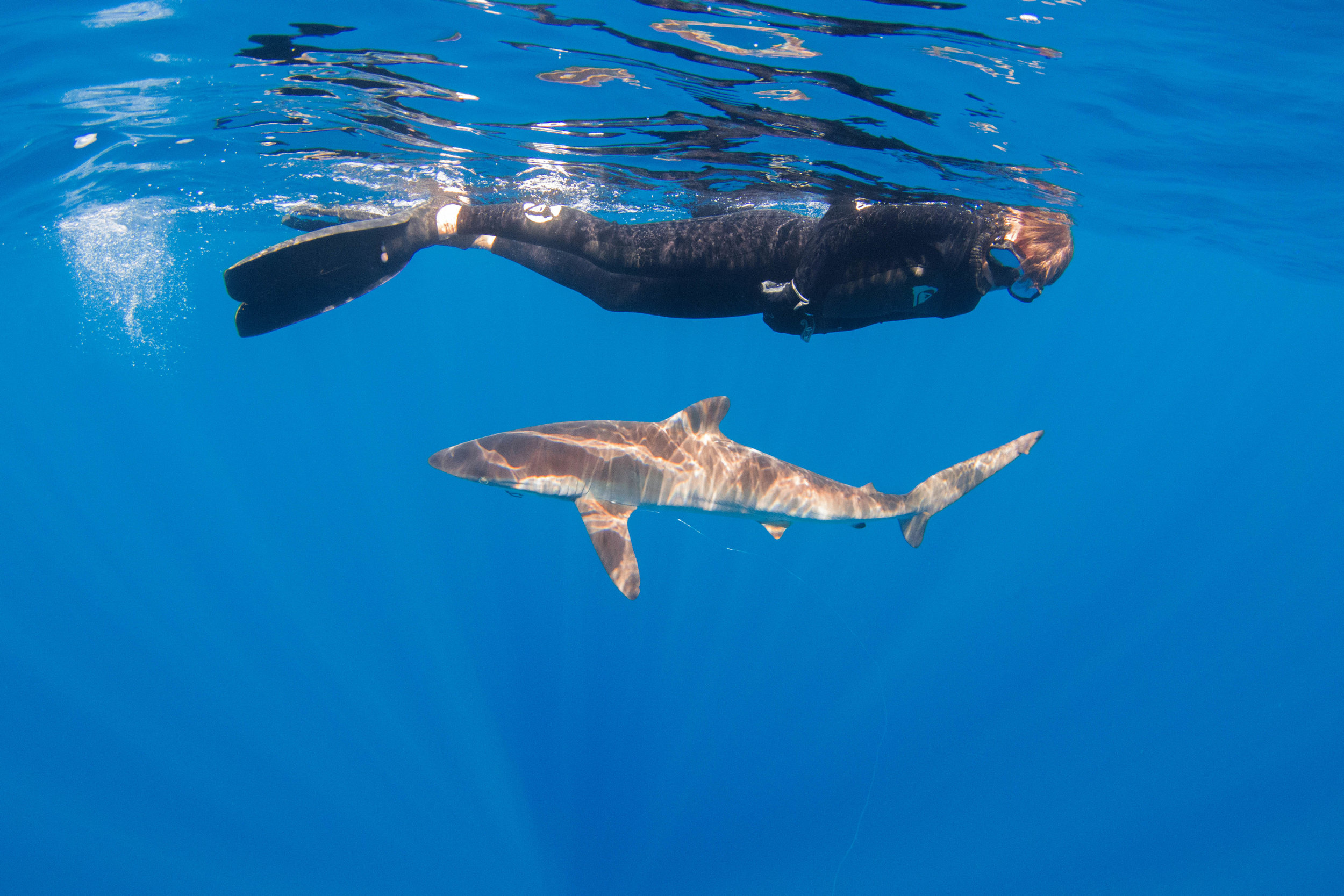 Guest Corey with a super bold silky shark swimming below