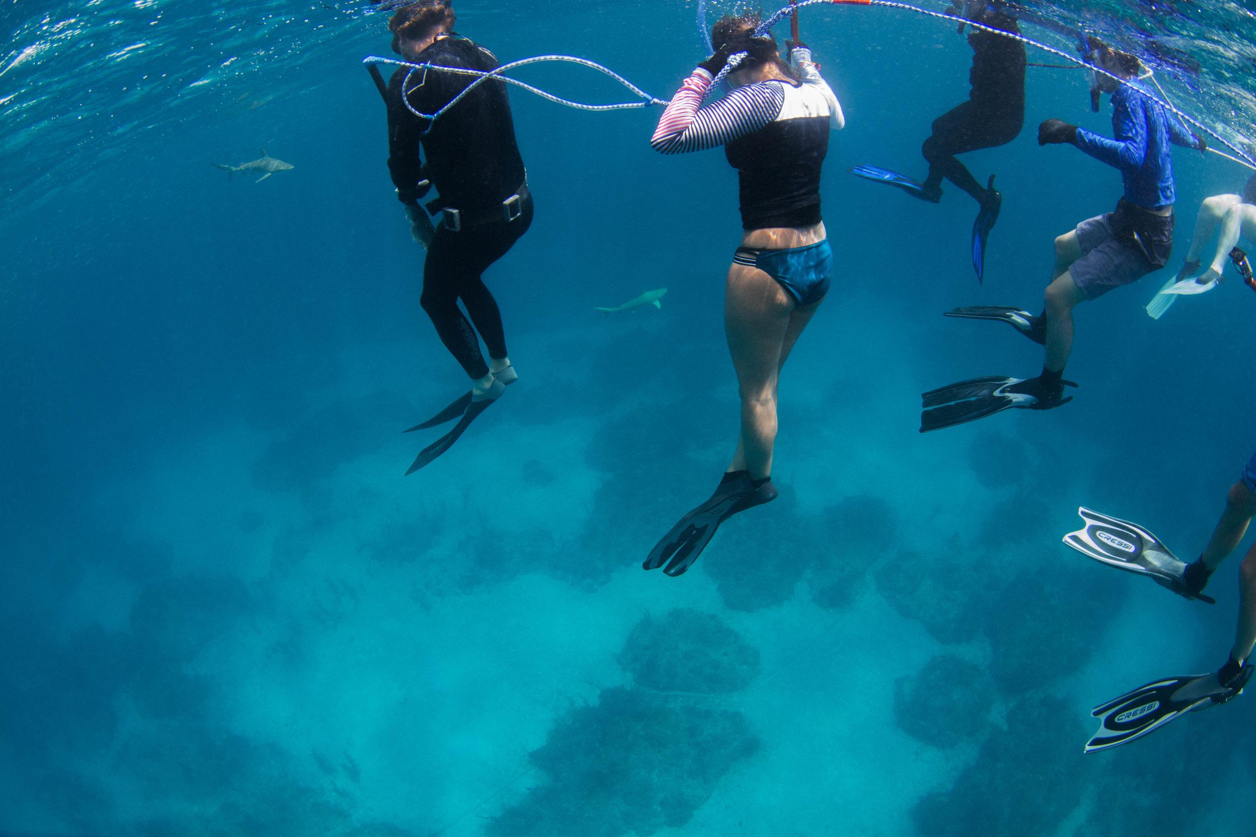 Blacknose dive.jpg
