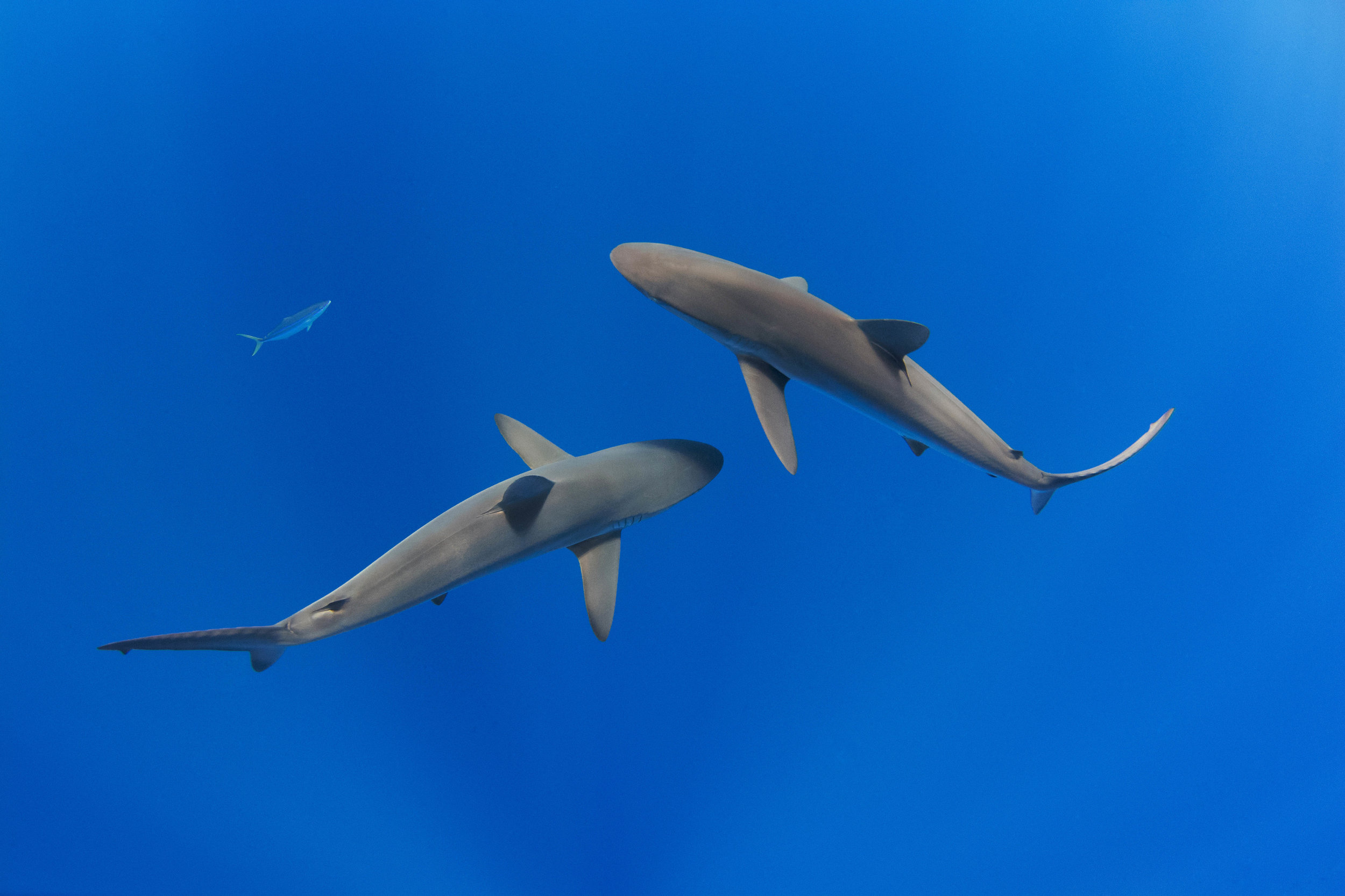 Two large silky sharks swimming beneath expedition guests