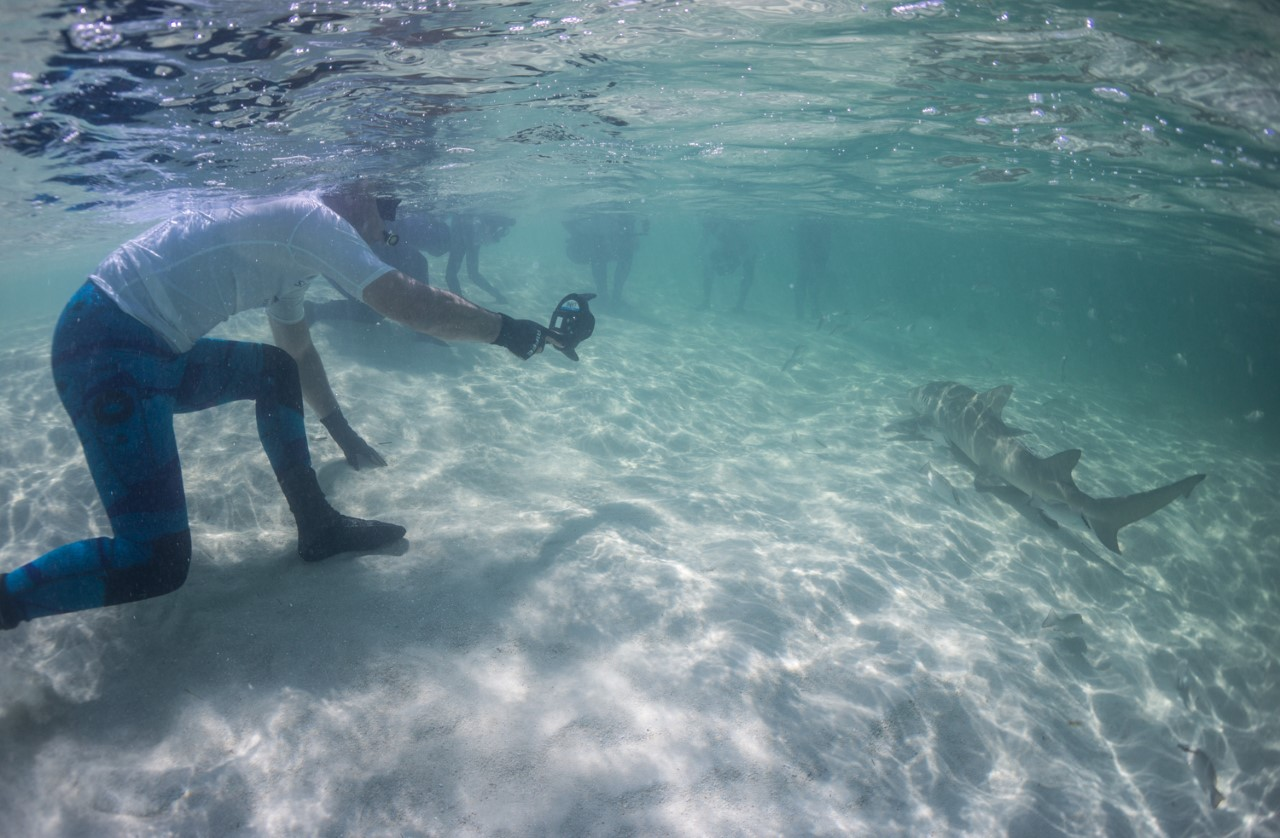 Guests enjoy some close lemon shark passes in the shallows