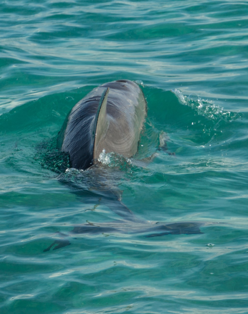 A dolphin makes a close boat pass whilst taking a breath