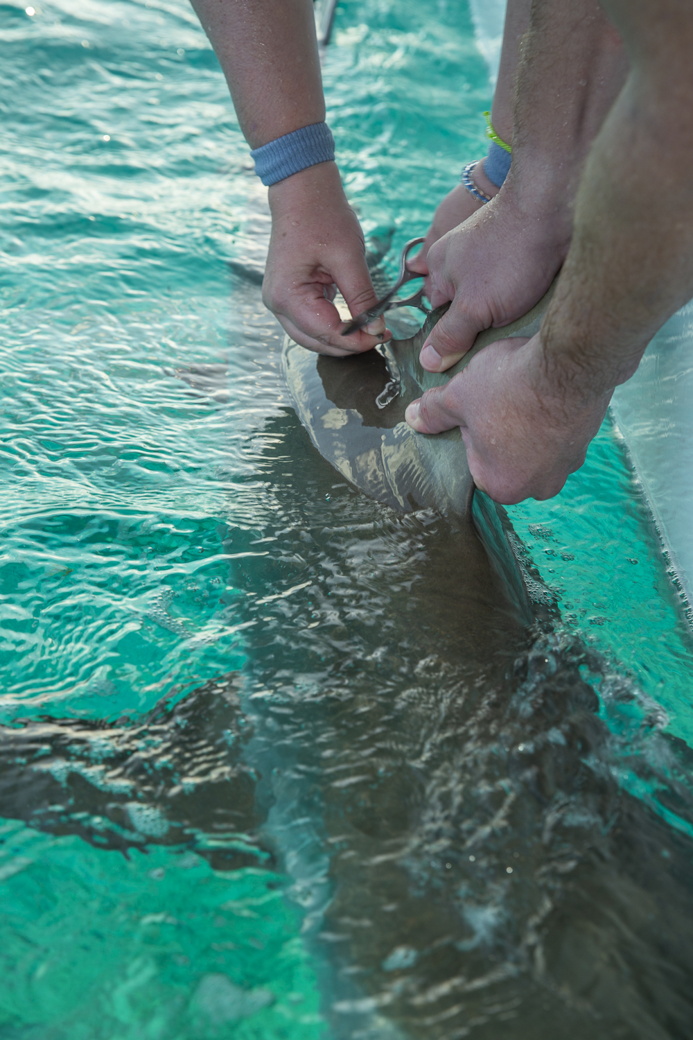 Guest Jason takes a DNA sample from a reef shark