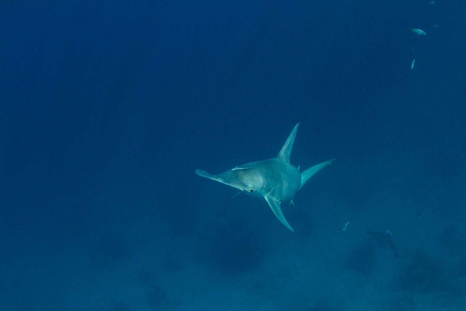 Another great hammerhead joins the team!
