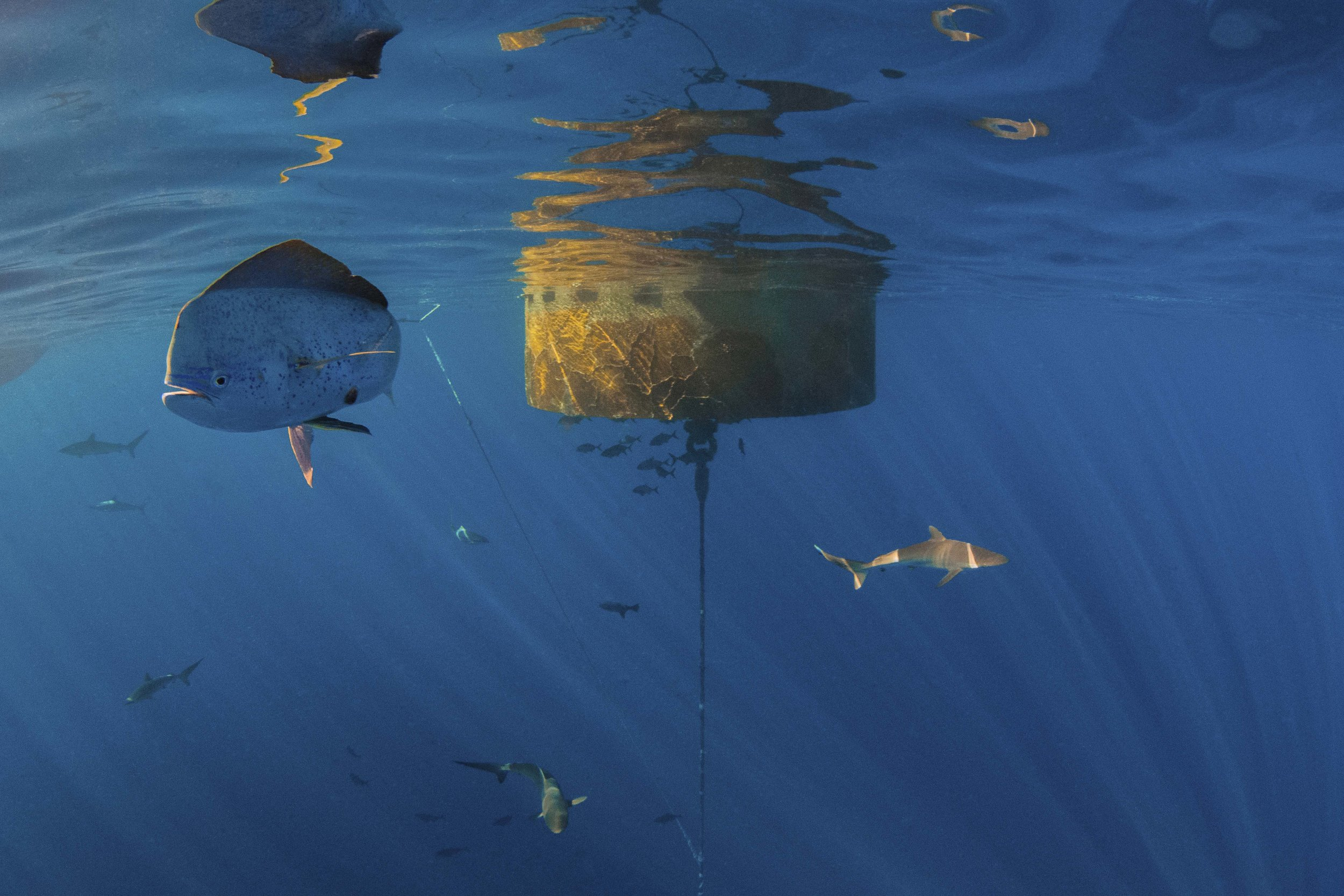 A large Mahi Mahi confidently mixes with over 25 silky sharks.
