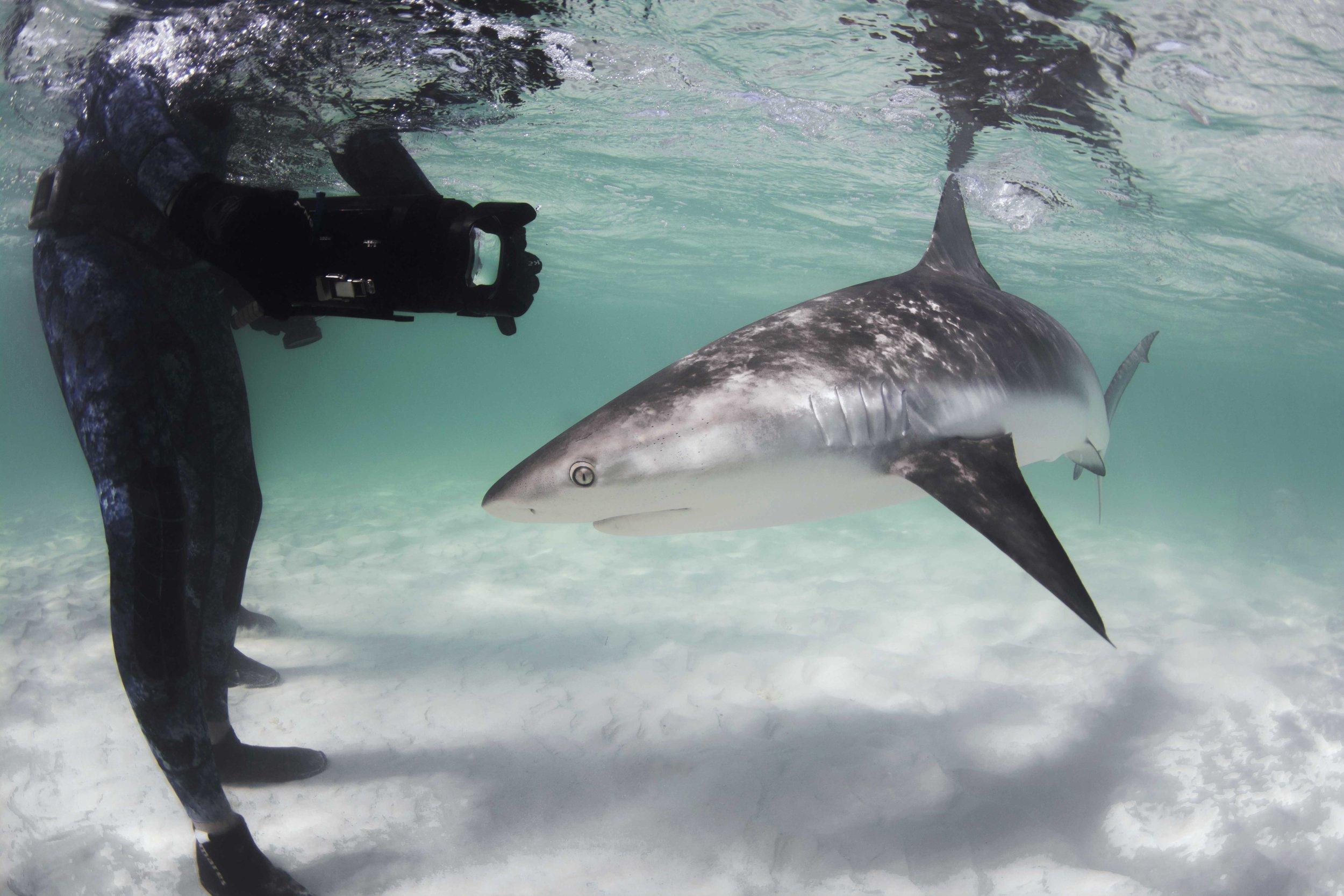 A confident Caribbean reef shark makes a close pass