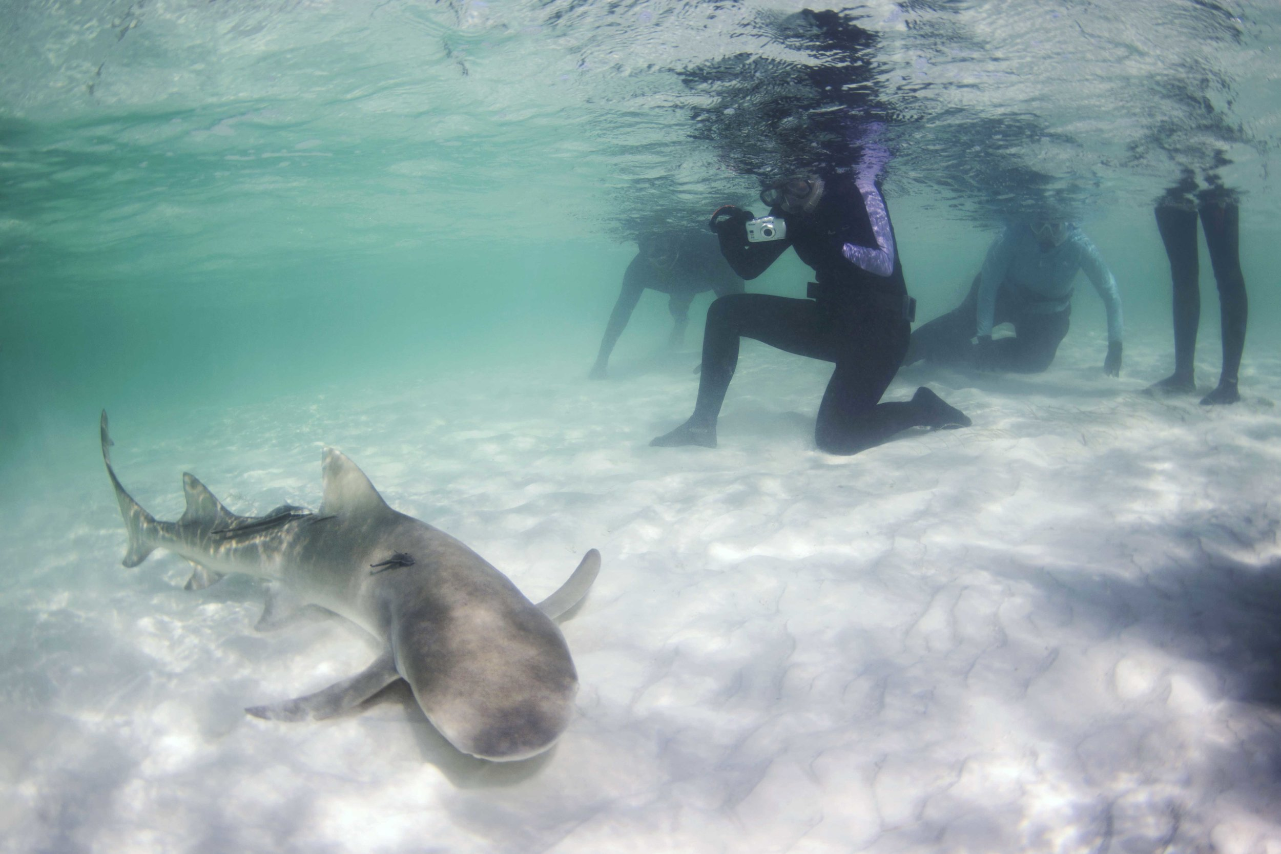 A subadult lemon shark cruises within a few feet of guests