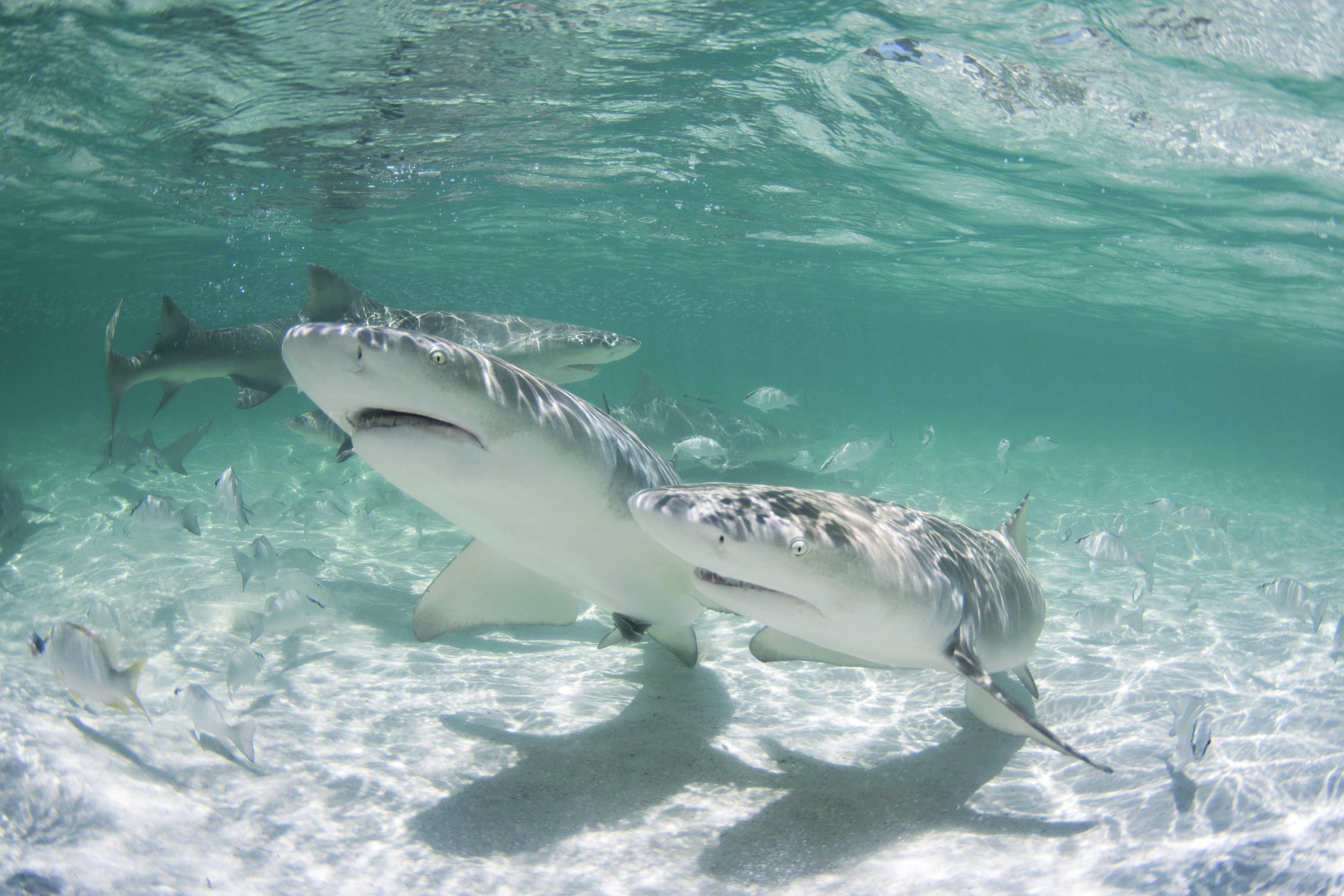Lemon sharks ranging from 60cm to 200cm were all present in just 2-3ft of water.