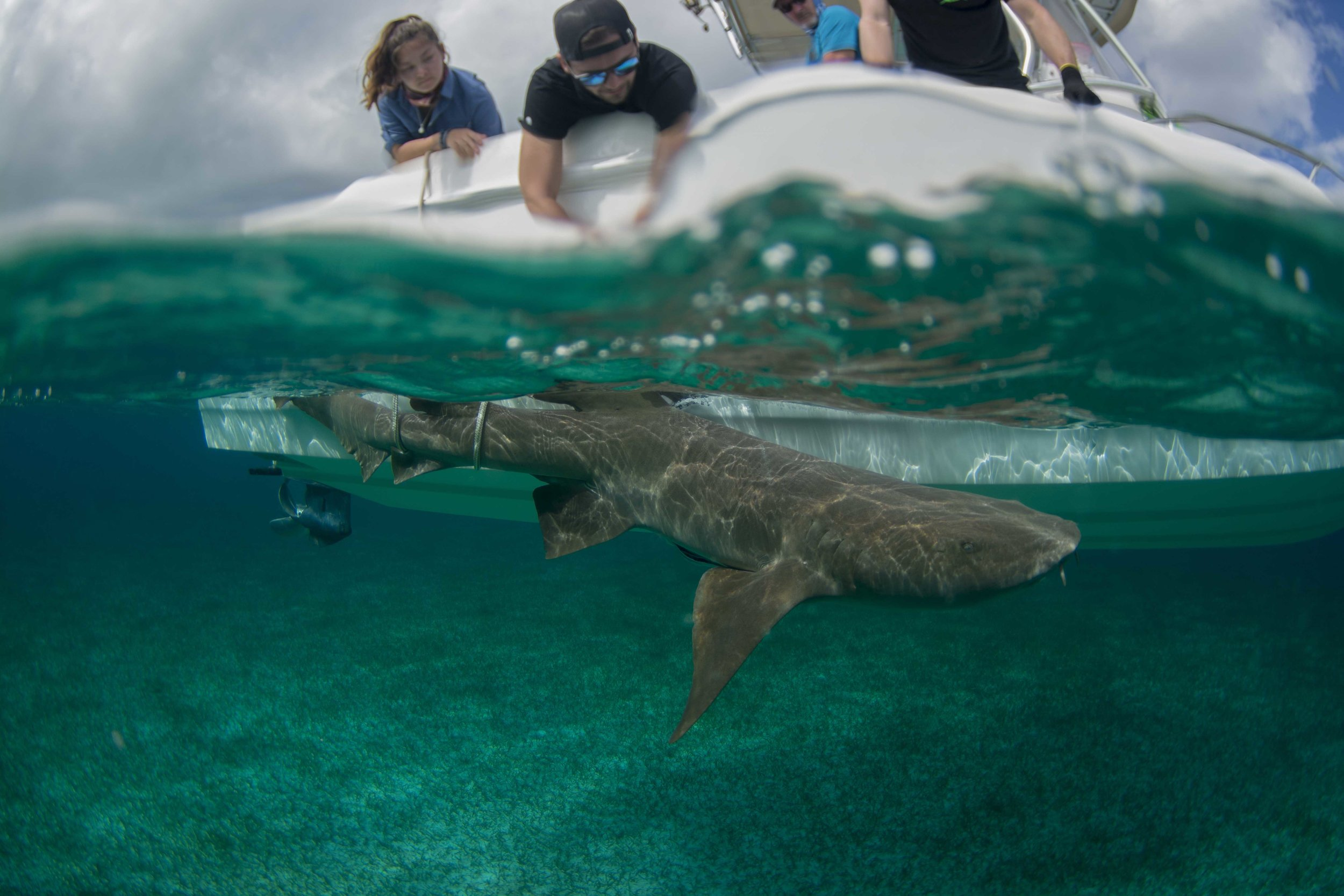 Nurse shark Ene was tagged by expedition guest Vince