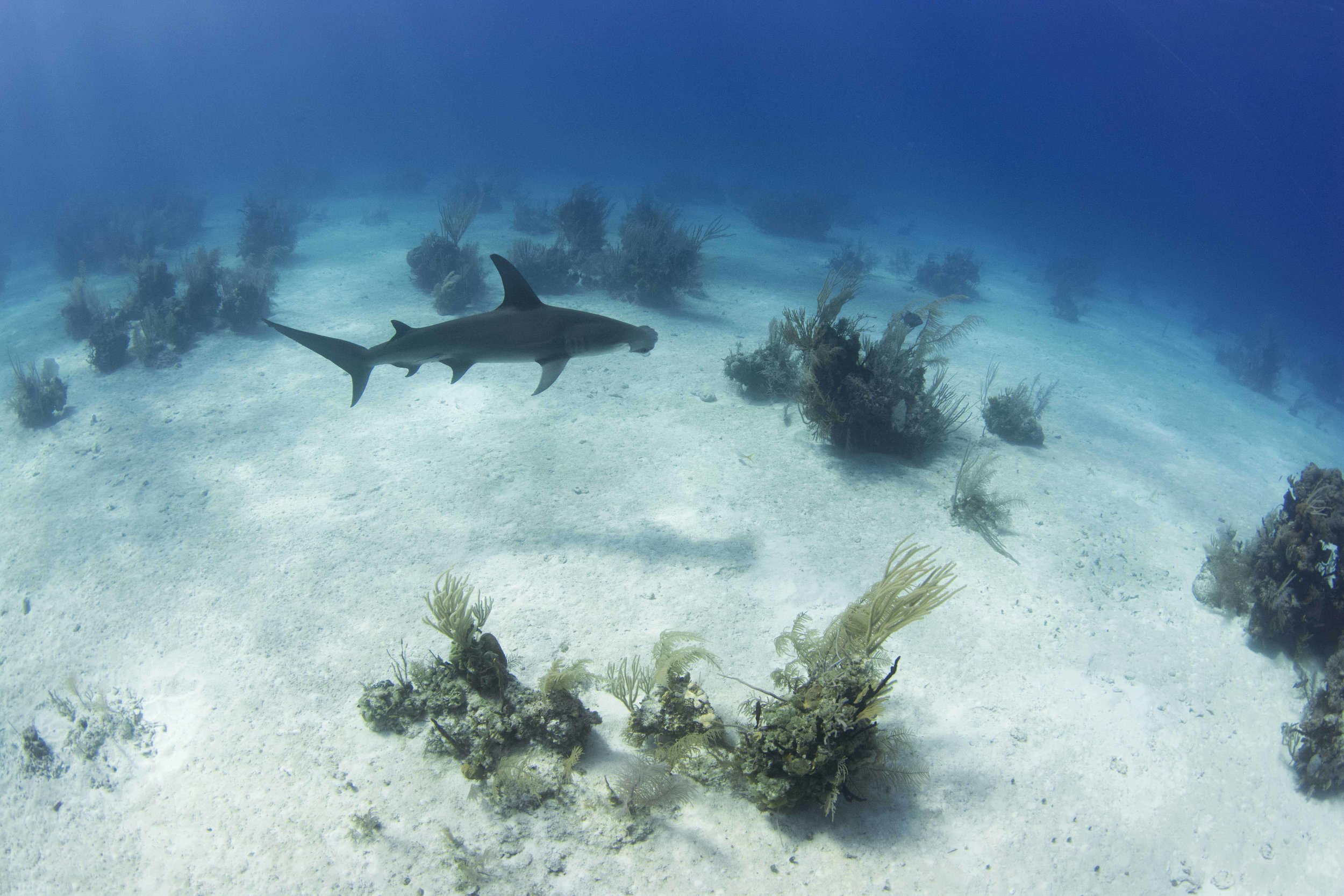 During this one dive, two individual hammerheads made regular passes.