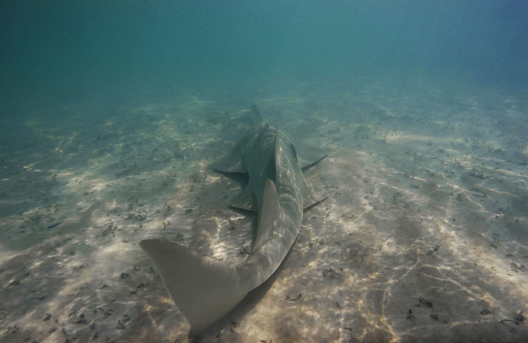 A critically endangered smalltooth sawfish