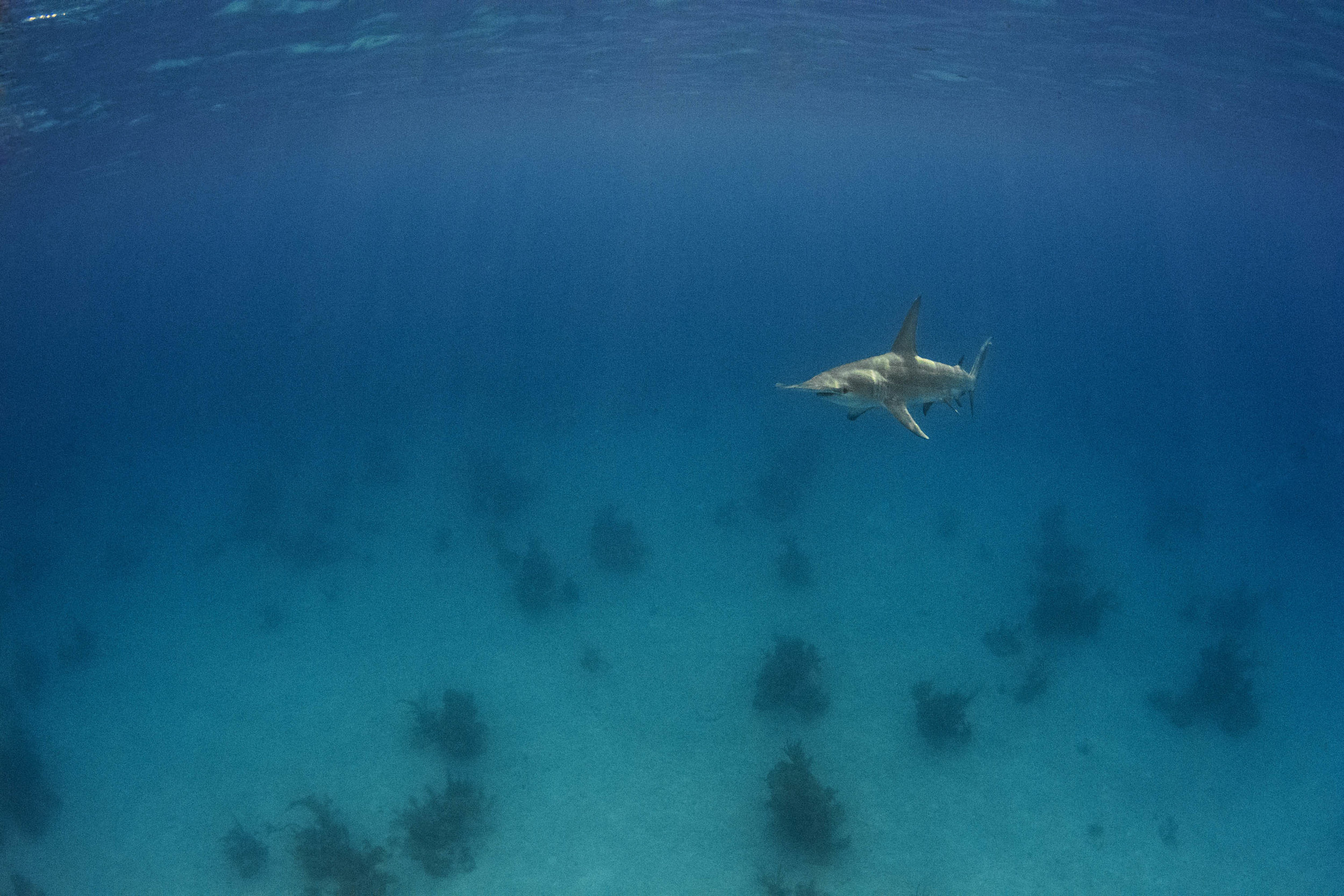 A male Great Hammerhead launches to the surface to view divers