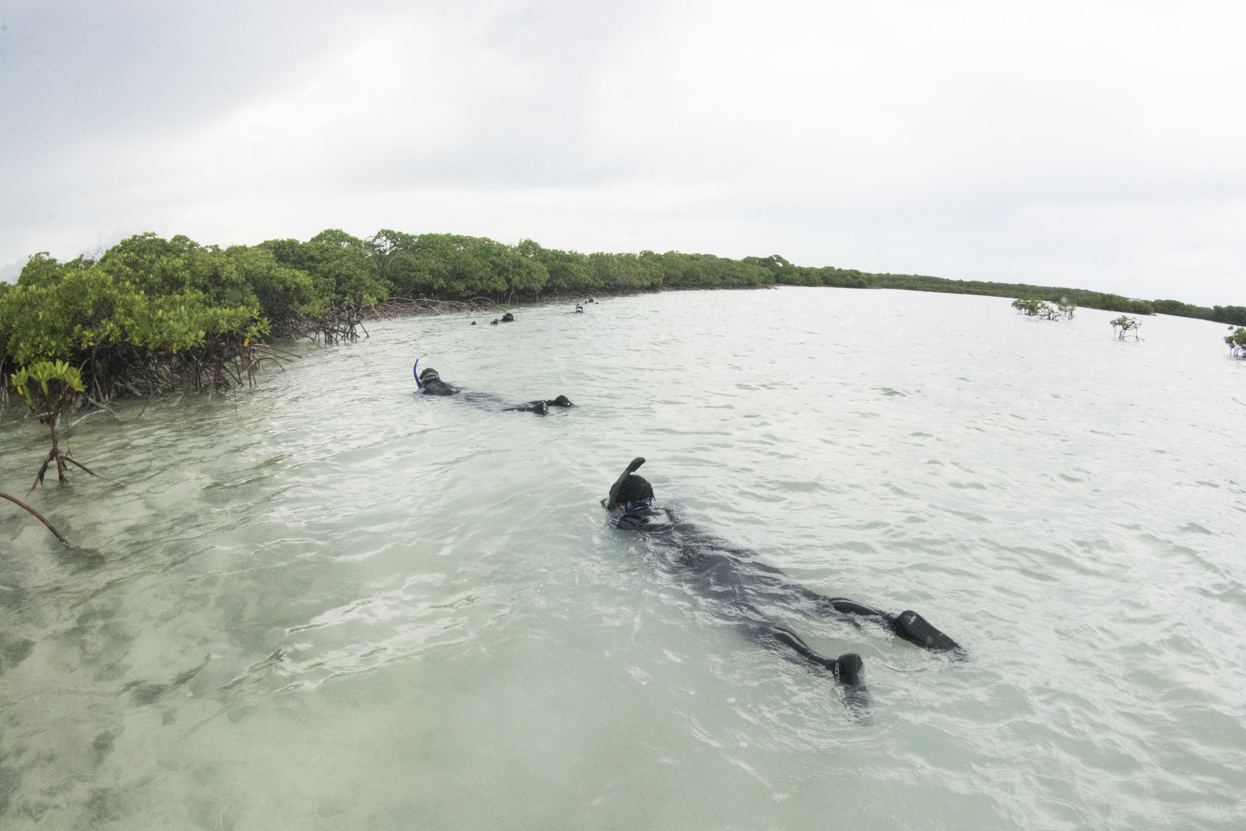 Expedition guests snorkel the mangroves