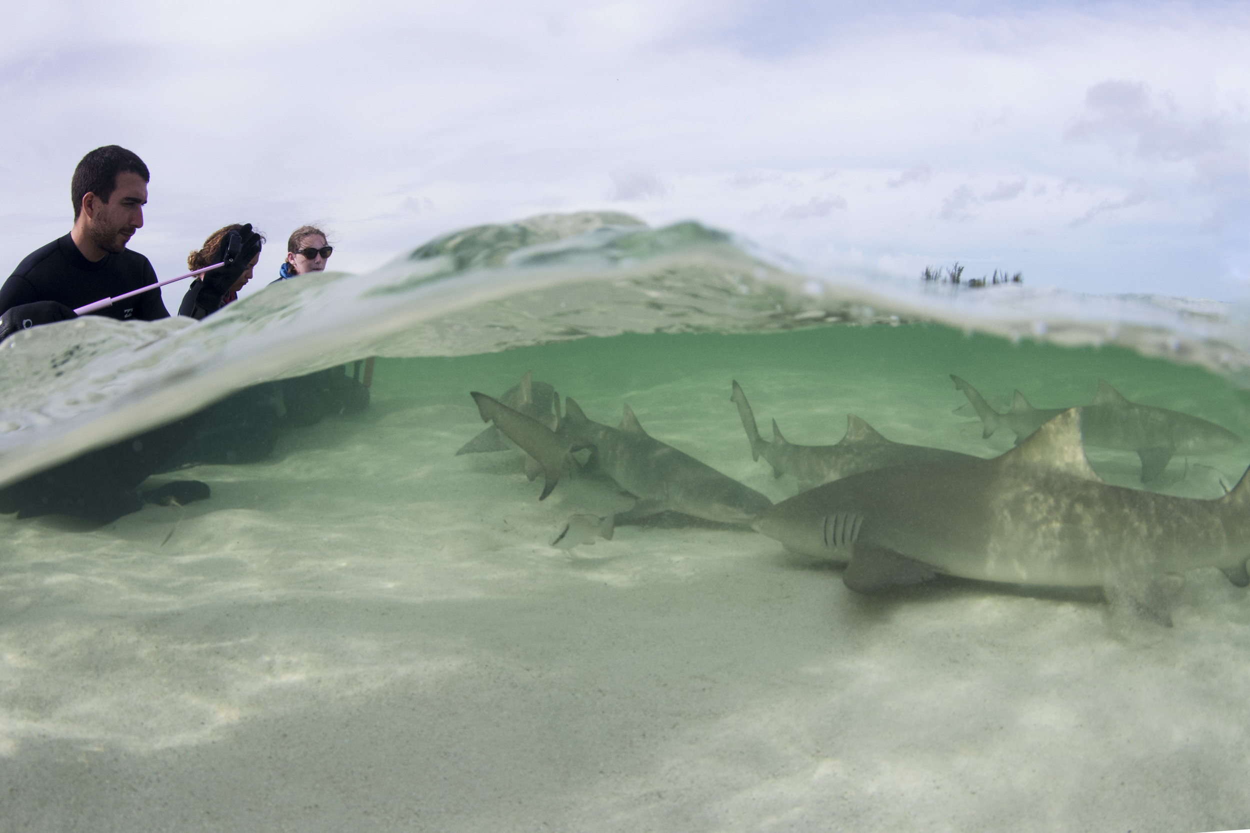 Guests enjoy over a dozen sharks in less than three feet of water