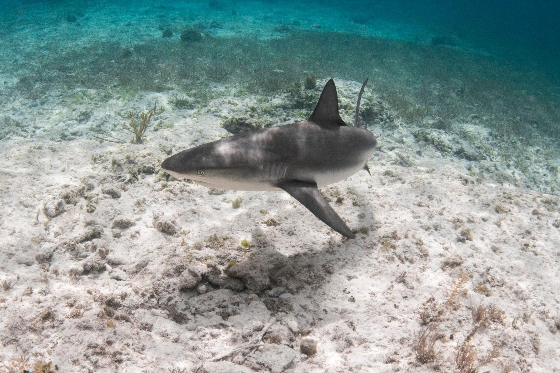A bold Caribbean reef shark