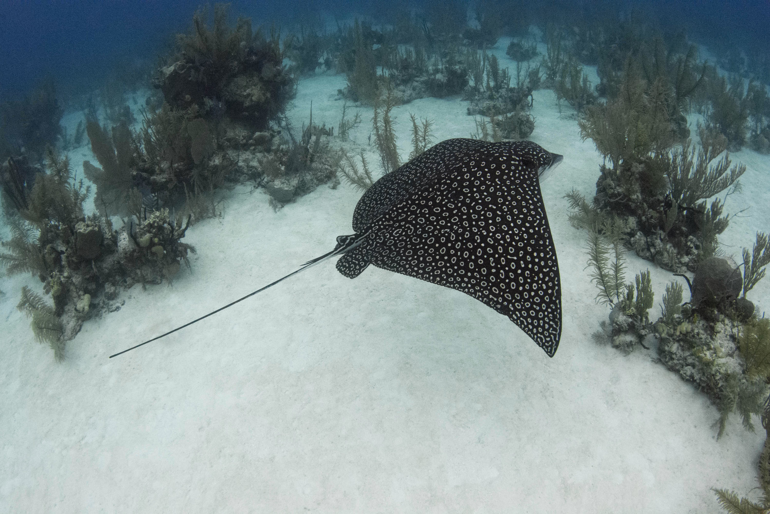 A stunning spotted eagleray