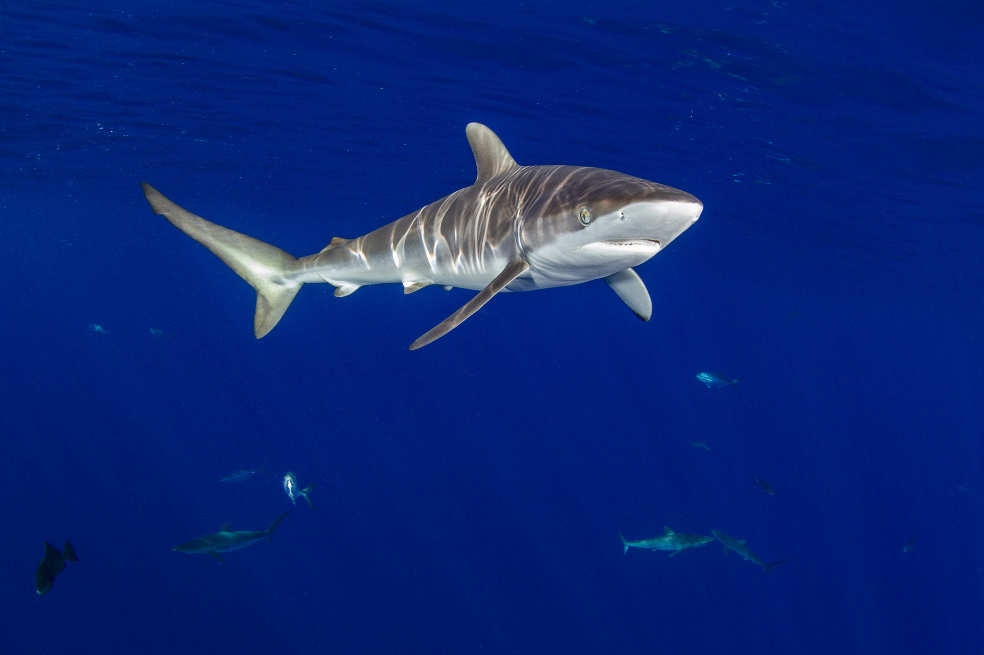One of six silky sharks present on arrival