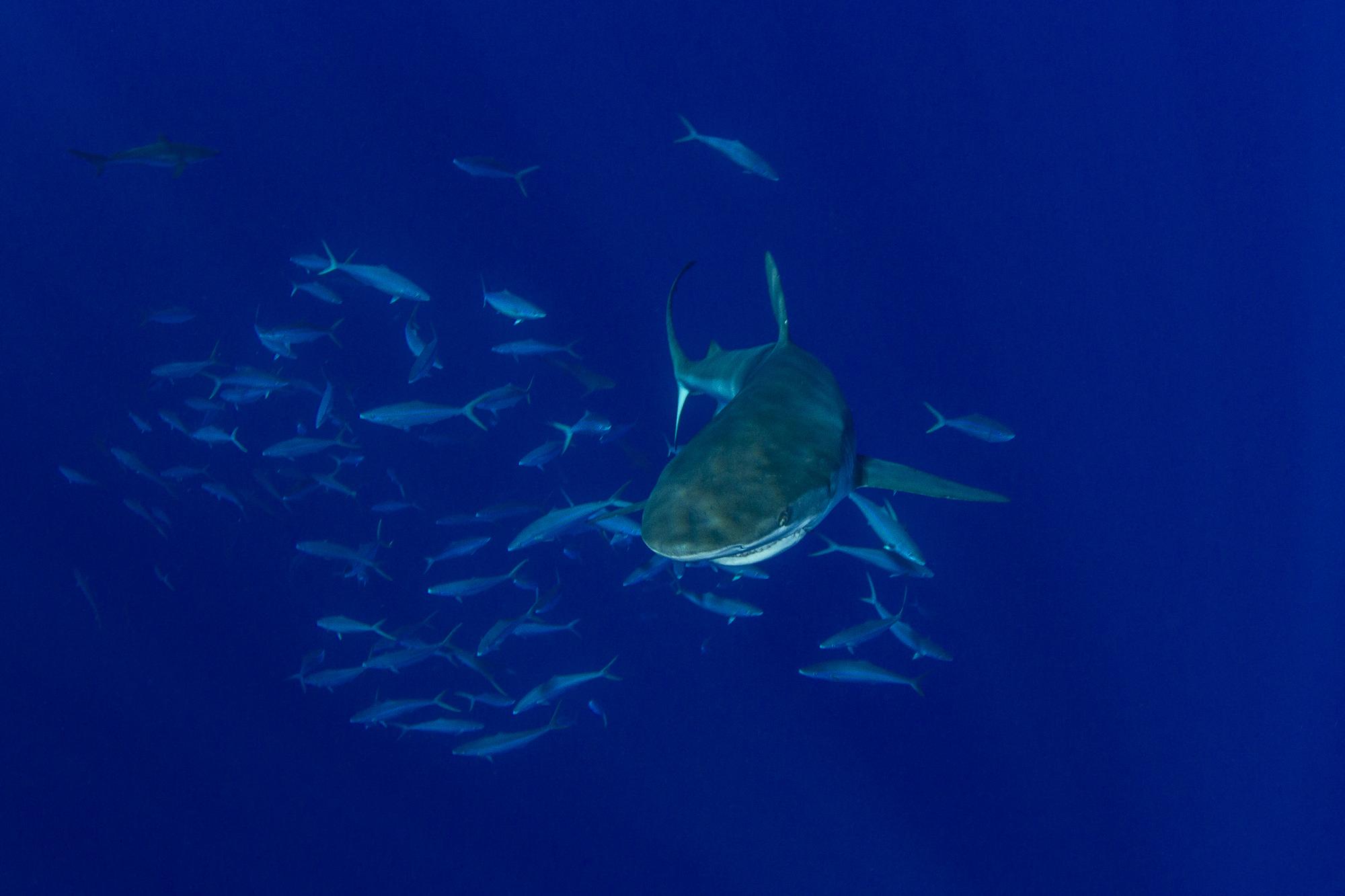 A large, 3 meter (10ft) dusky shark made an appearance!