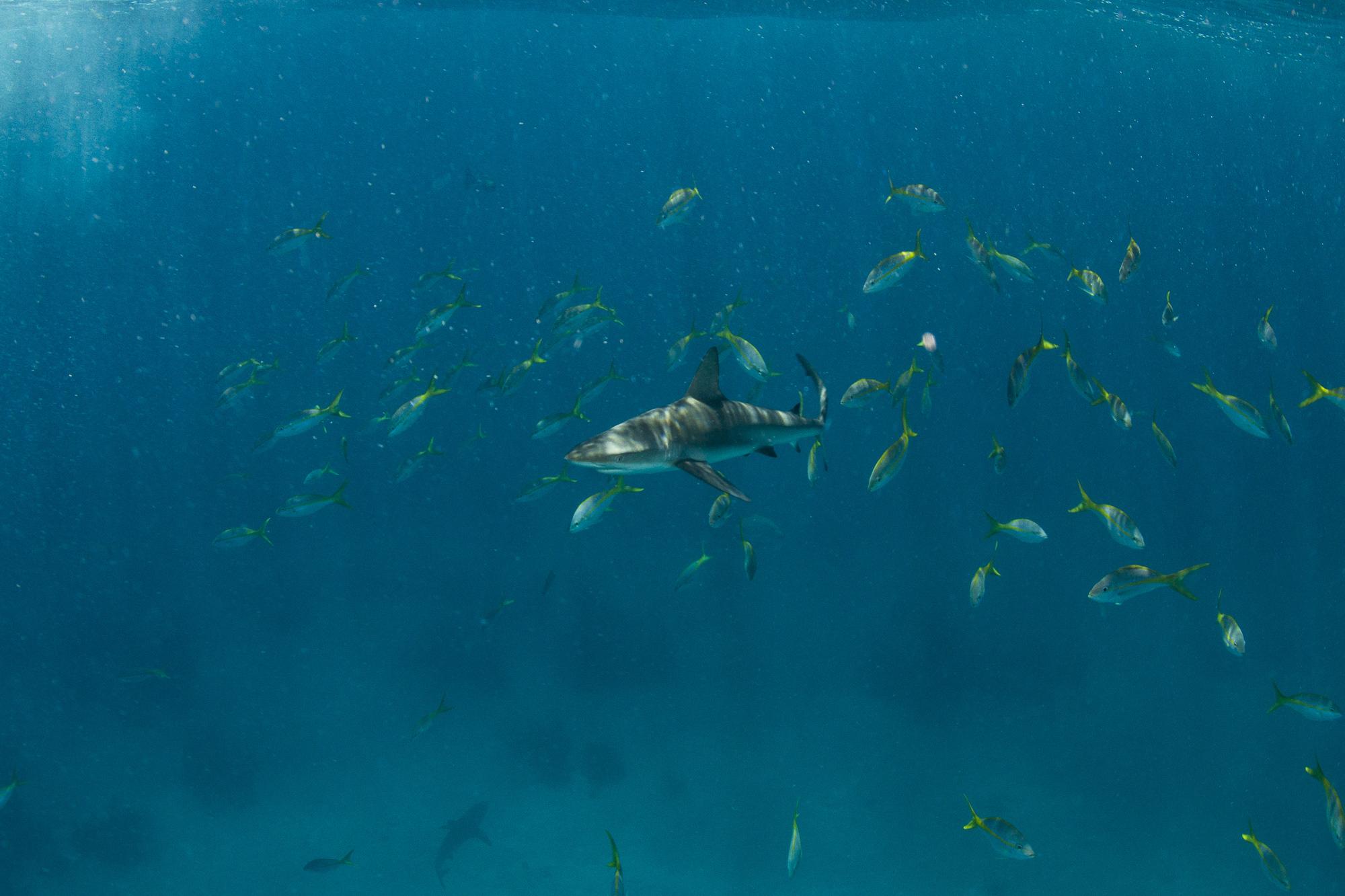A bold Caribbean reef shark moves towards the surface