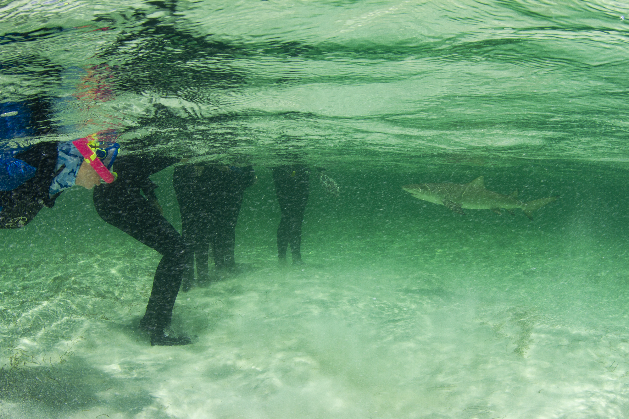 A lemon shark comes in for a close up