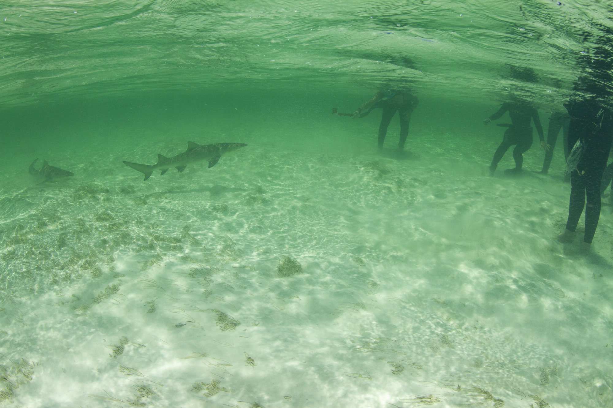 Two of eight sharks present